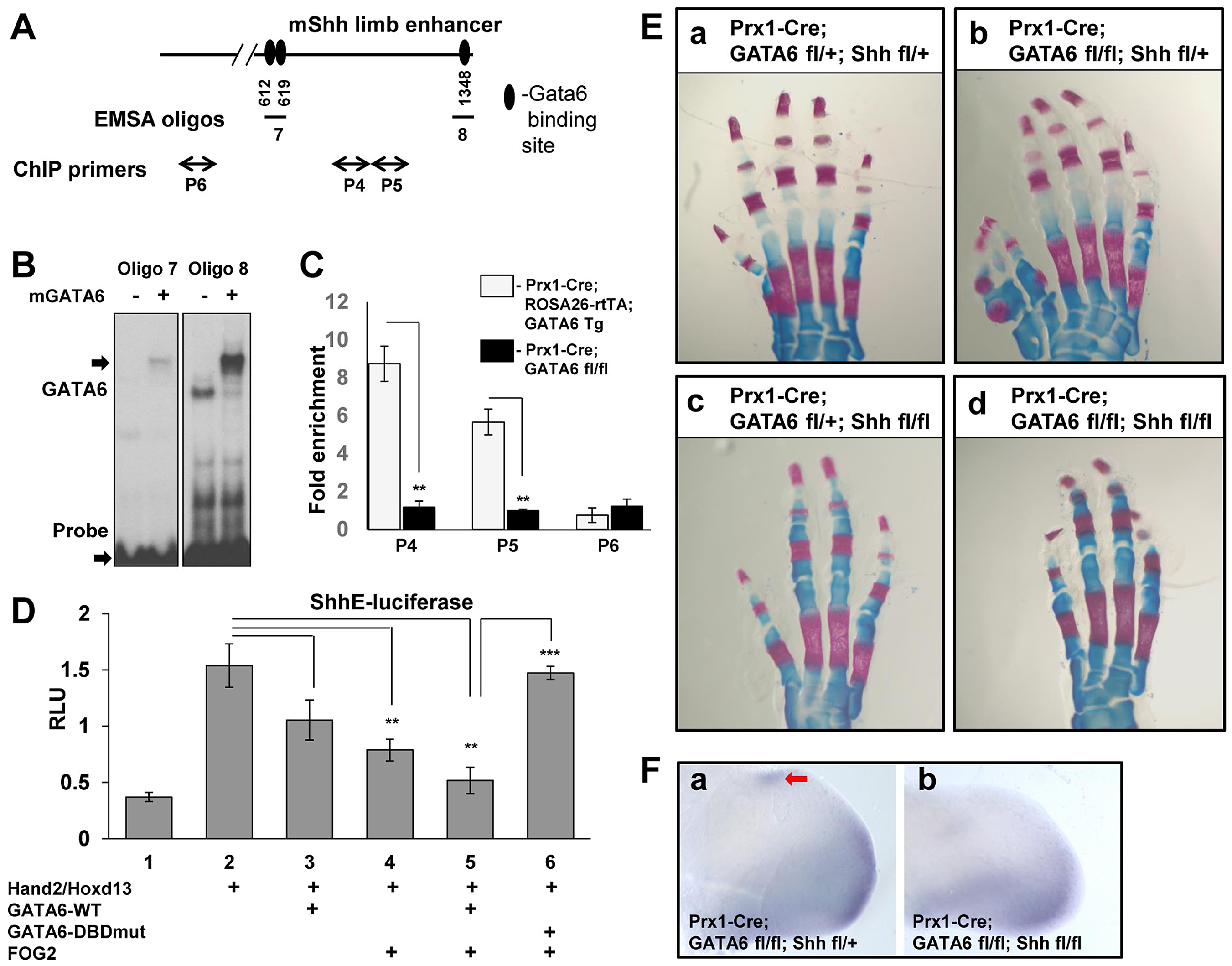 GATA6 binds to regulatory regions that control the expression of the mouse <i>Shh</i> gene and blocks expression of reporters driven by this sequence. Conditional deletion of <i>Shh</i> from the mouse limb bud rescues polydactyly induced by conditional loss of <i>GATA6</i> in the mouse hindlimbs.