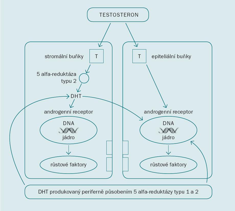Působení androgenů na buňky prostaty [3].