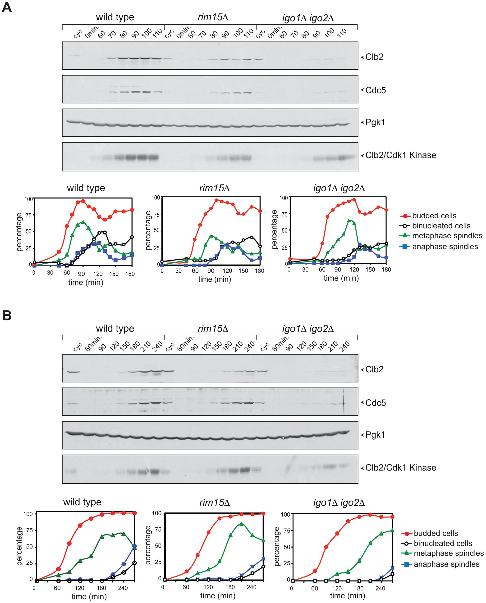 Deletion of <i>RIM15</i> or <i>IGO1</i> and <i>IGO2</i> delays mitotic entry under temperature stress.