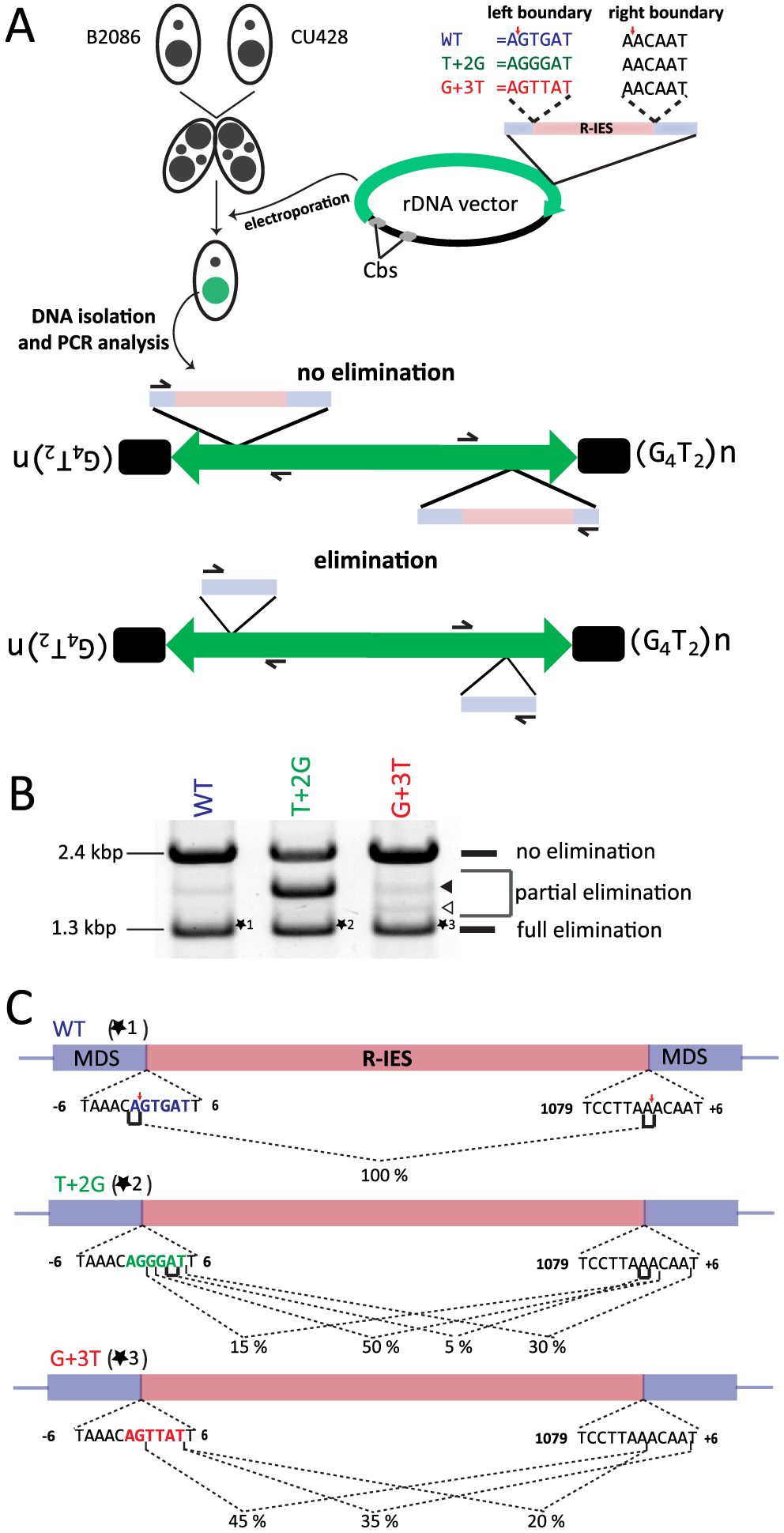 In vivo elimination assay using mutated R-IES boundaries.