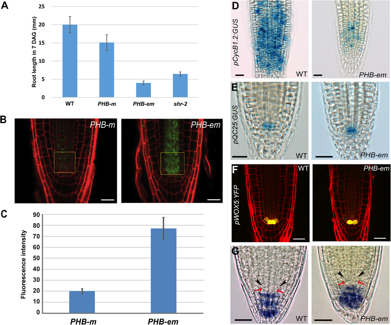 PHB in the stele regulates root meristem and growth activity in a QC-independent manner.