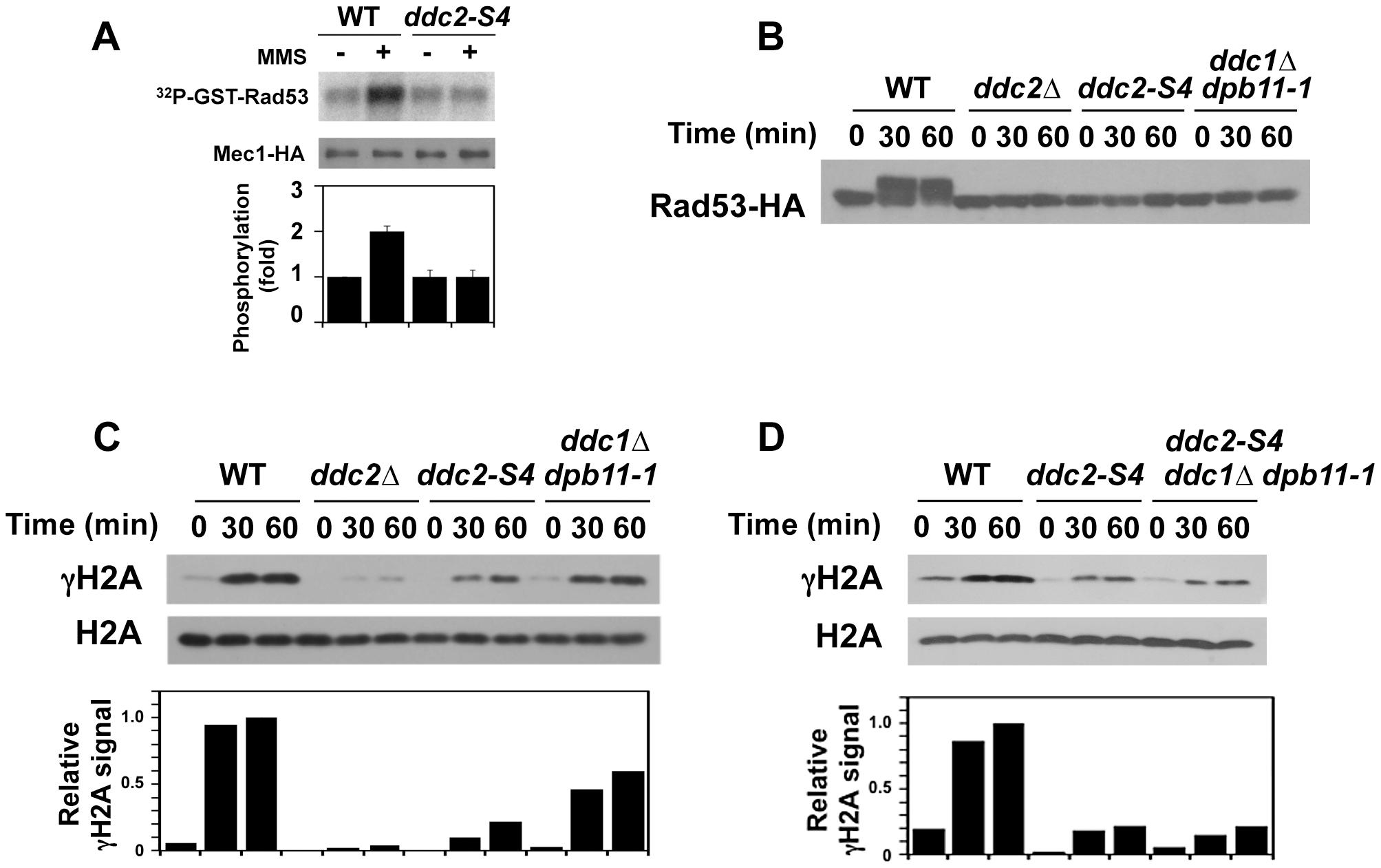 Effect of <i>ddc2-S4</i> on Mec1 activation after DNA damage.