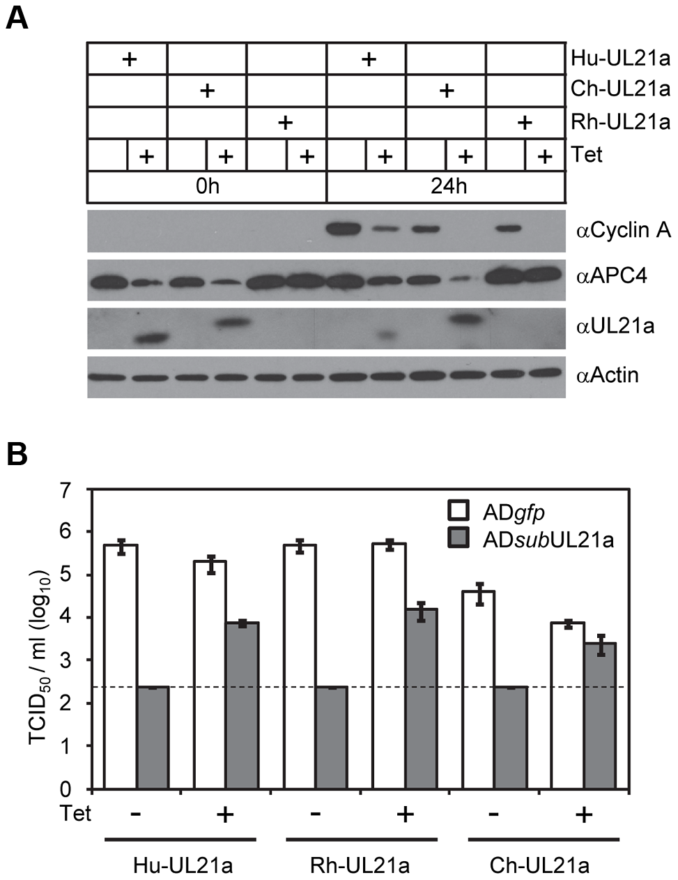 Activity to regulate Cyclin A is conserved in pUL21a of primate CMVs.