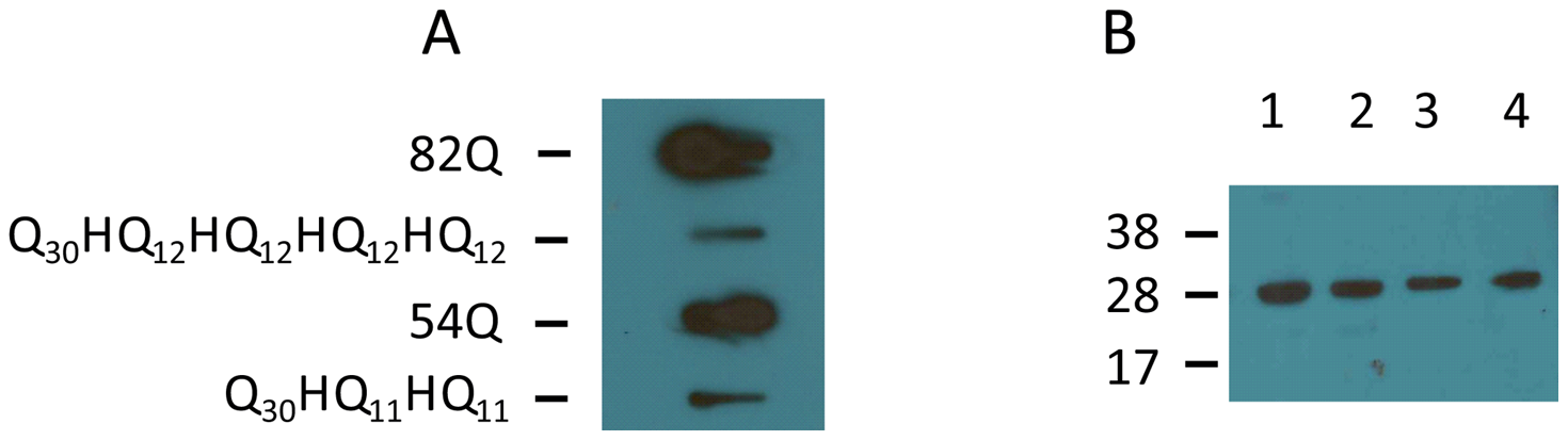Detection of protein aggregates formed in transfected COS cells by slot blot filter assay.