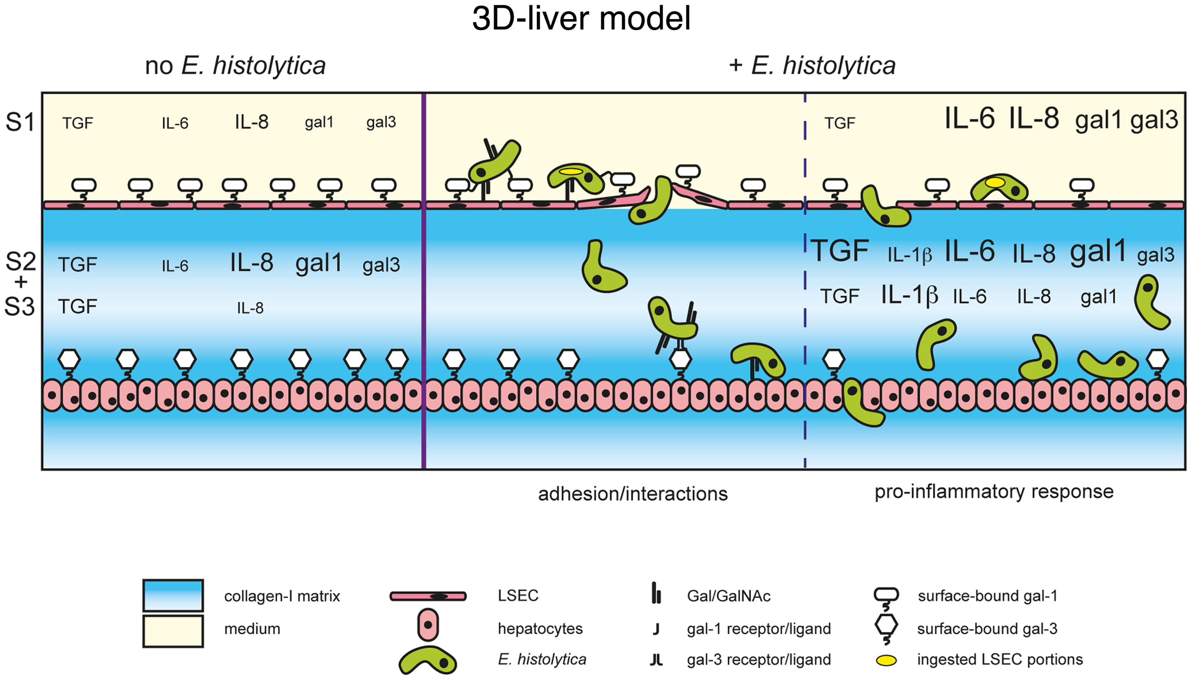 The human 3D-liver model, the dual role of galectin-1 and -3 during <i>E. histolytica</i> invasion.