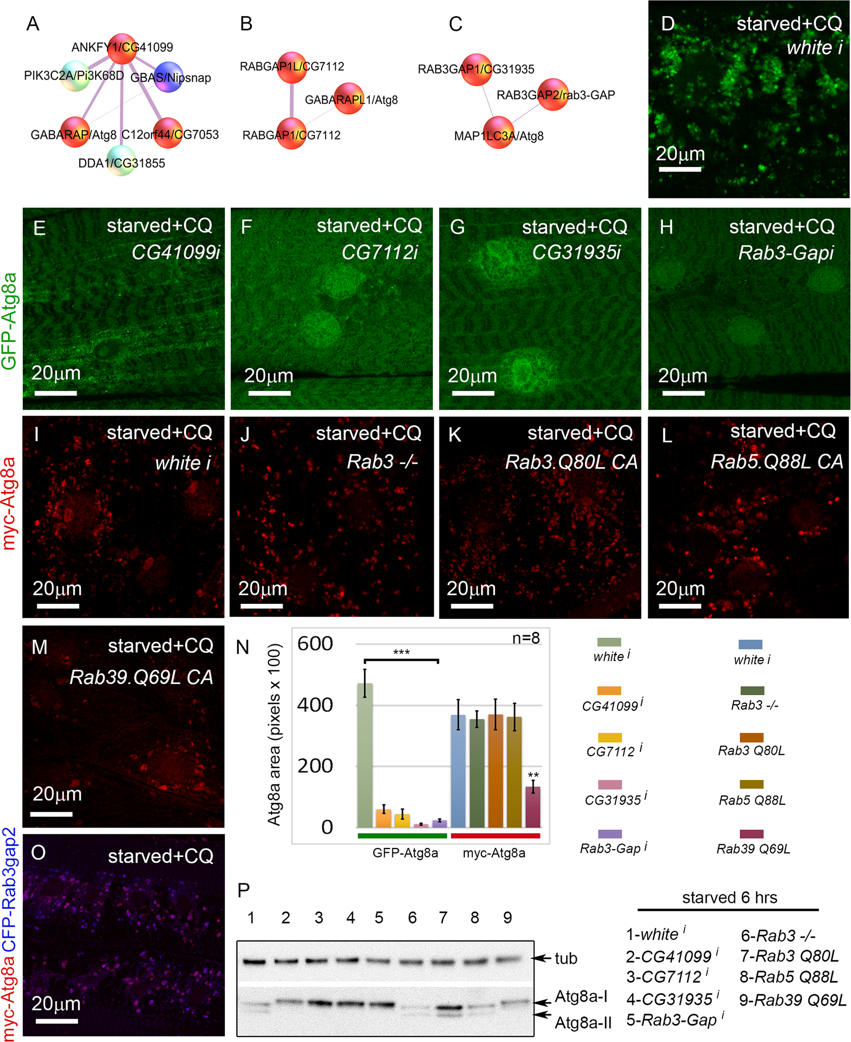 Rab GTPase-activating proteins and a Rab effector protein are required for autophagy <i>in vivo</i>.