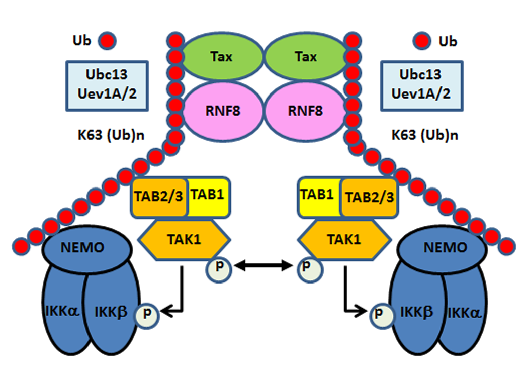 Tax hijacks RNF8 and Ubc13:Uev1A/Uev2 to activate IKK and the canonical NF-κB pathway.