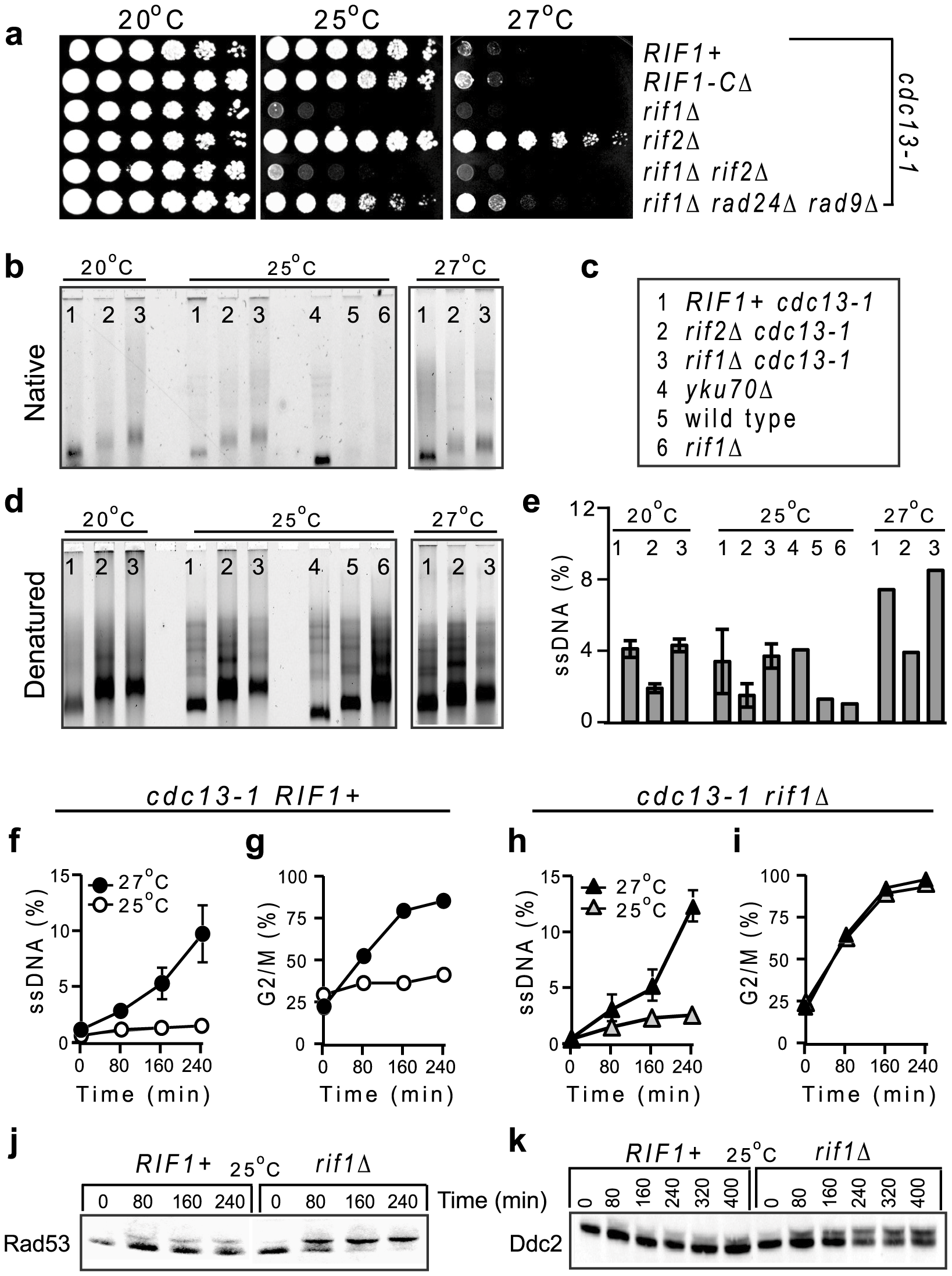 Rif1 inhibits the checkpoint responses to telomere uncapping in <i>cdc13-1</i> cells.