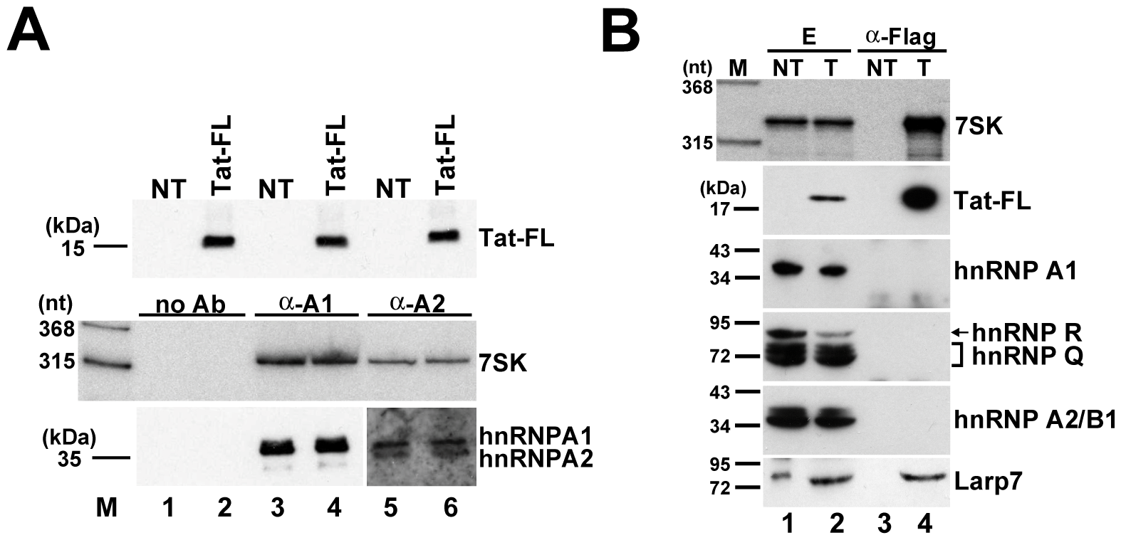 The 7SK/Tat snRNP does not interact with hnRNP proteins.