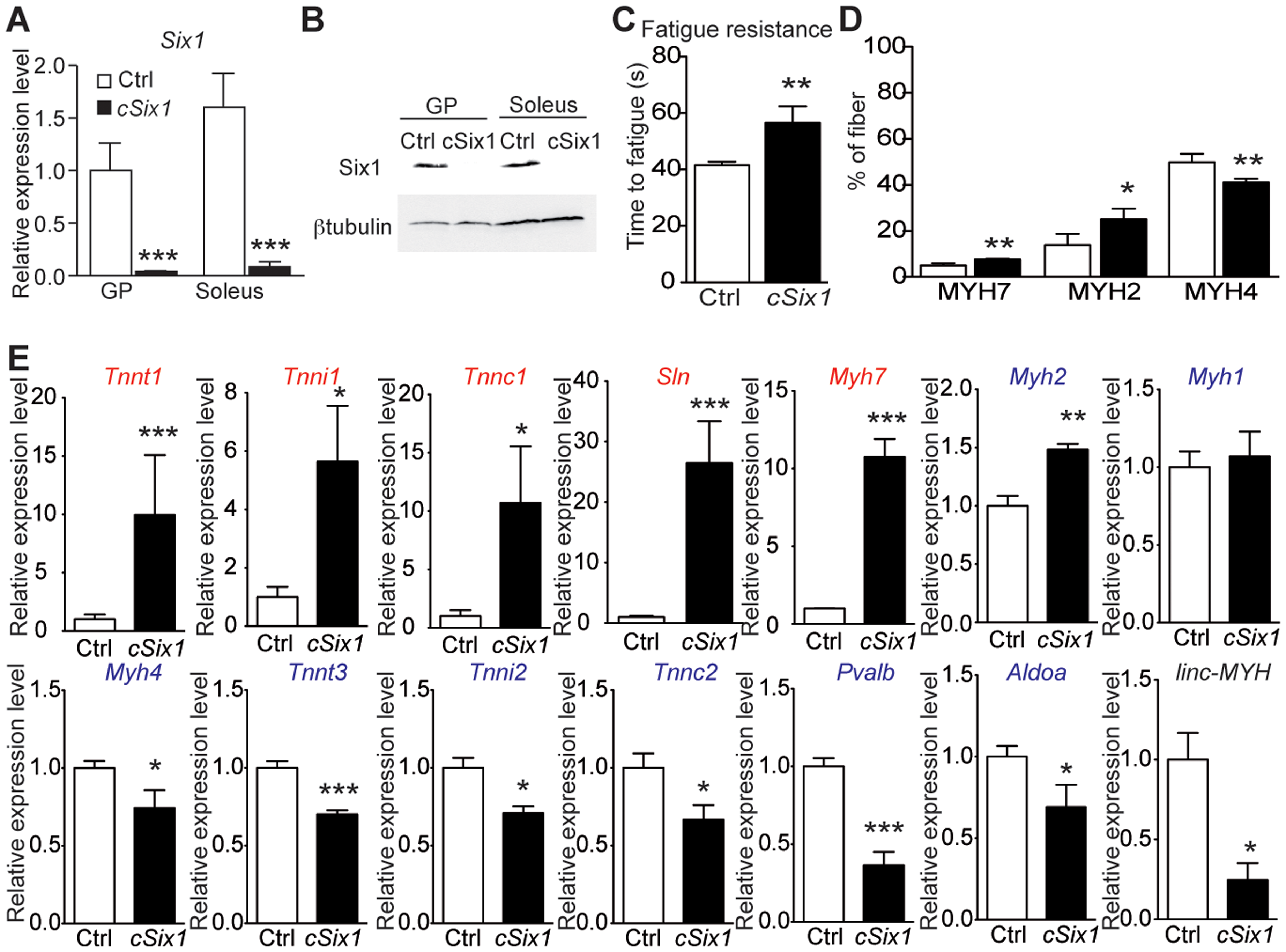 <i>Six1</i> deficiency impairs the adult phenotype of fast muscle.