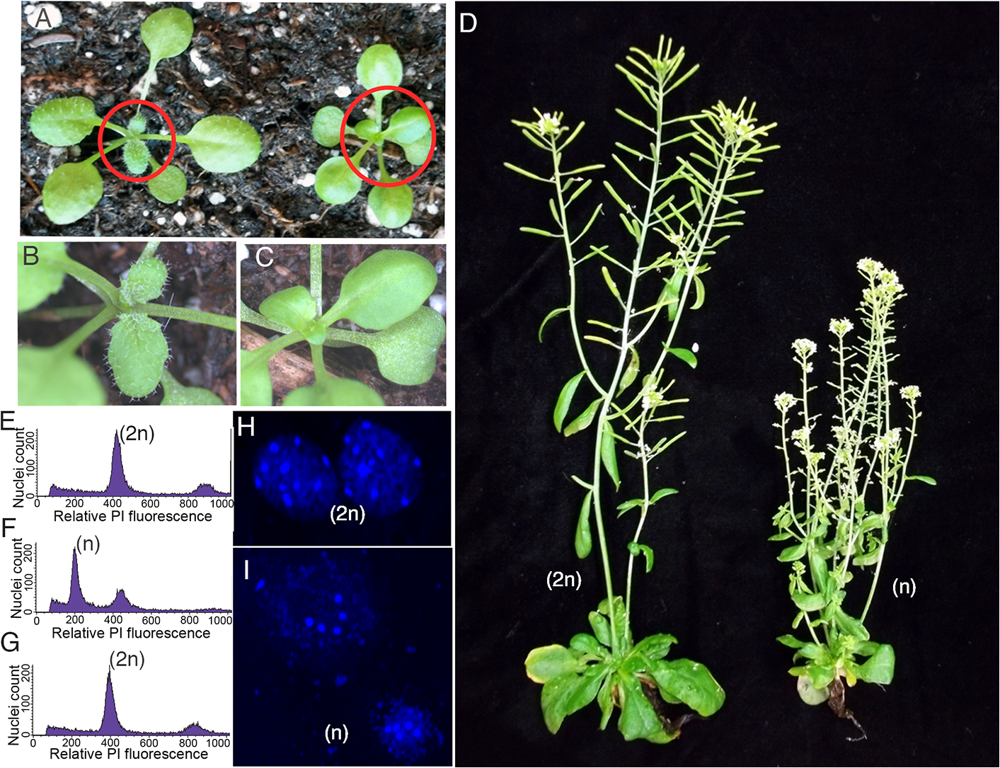Haploid plants produced by genome elimination in crosses of <i>CENH3</i> point mutants by L<i>er gl1-1</i>.