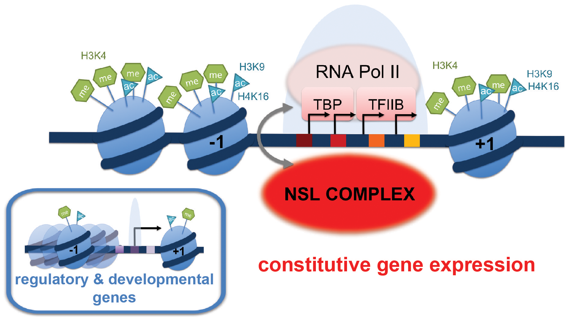 Summary model: NSL-dependent Pol II recruitment to promoters of housekeeping genes.
