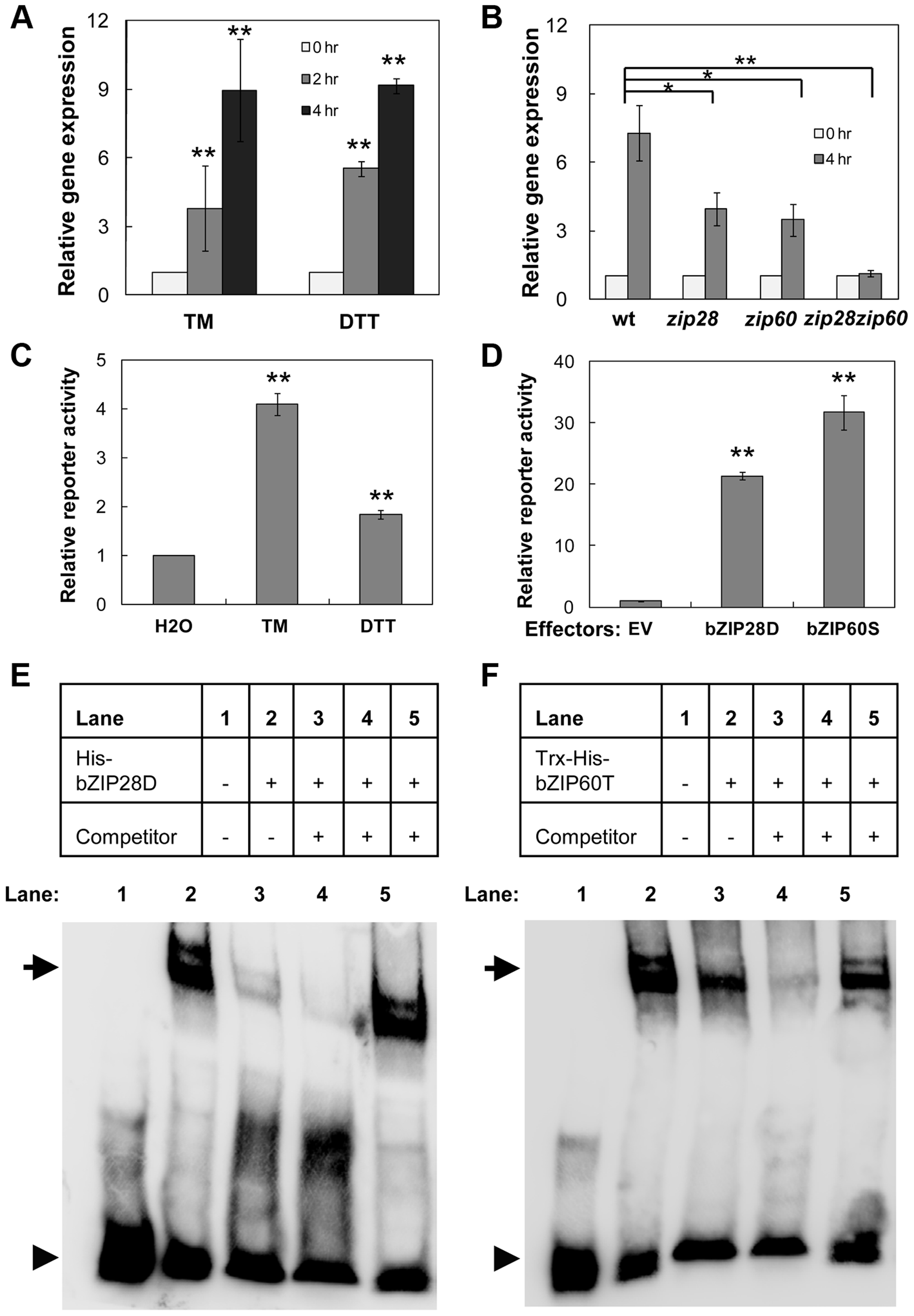 Up-regulation of <i>NAC089</i> by ER stress is directly controlled by bZIP28 and bZIP60.