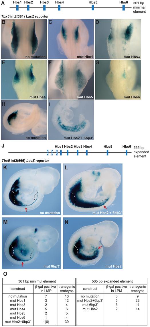 Mutation analysis of the <i>Tbx5</i> forelimb regulatory element.