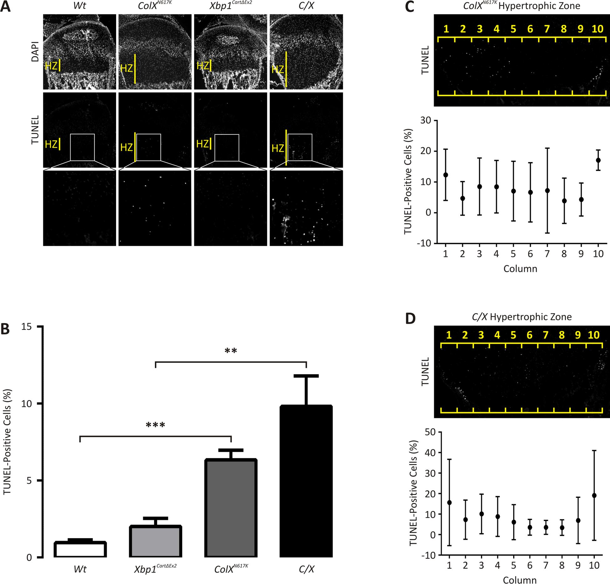 Apoptosis is elevated in 2 week <i>ColX</i><sup><i>N617K</i></sup> and <i>C/X</i> growth plate cartilage.