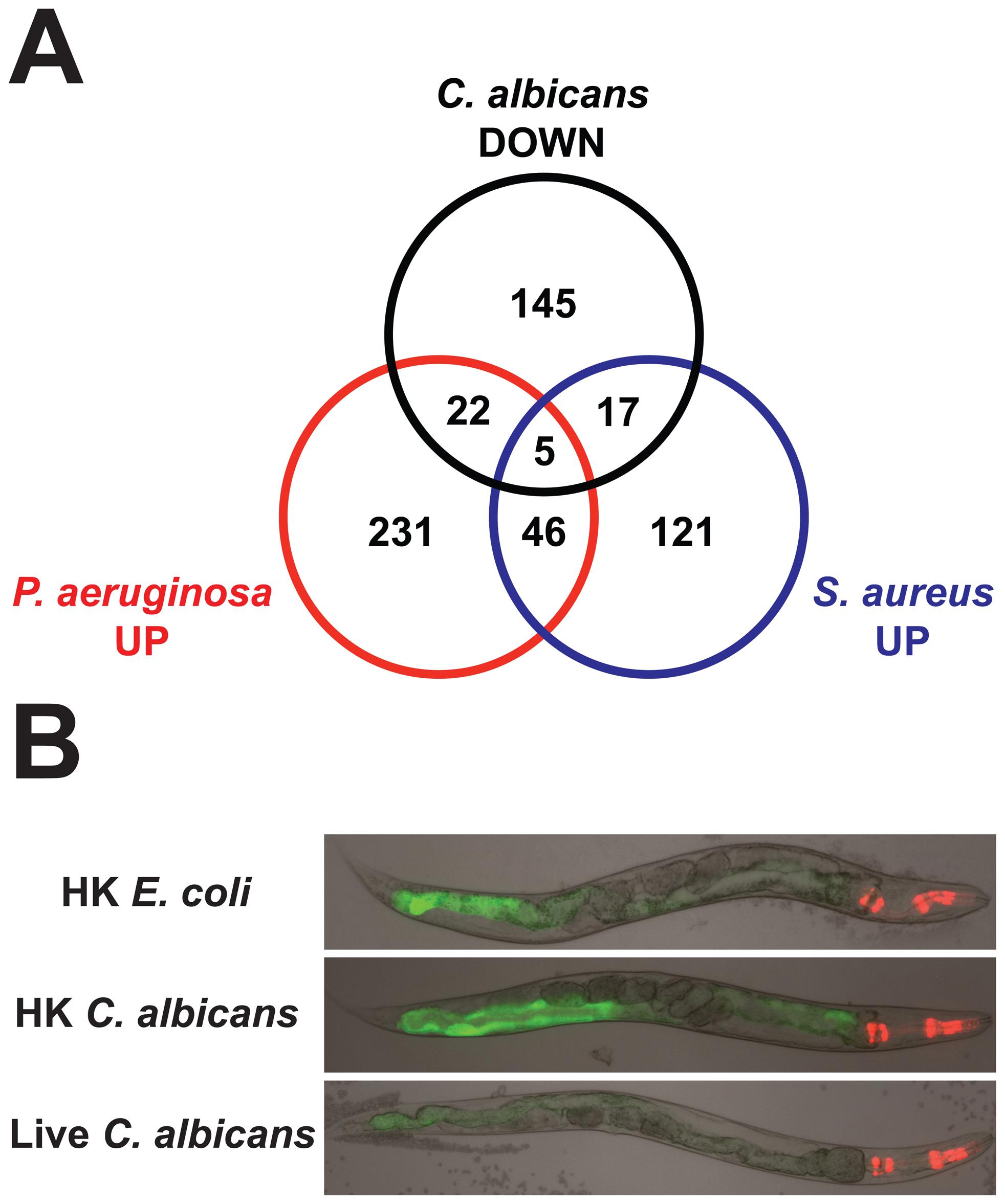 The <i>C. elegans</i> response to <i>C. albicans</i> involves the downregulation of antibacterial effectors.