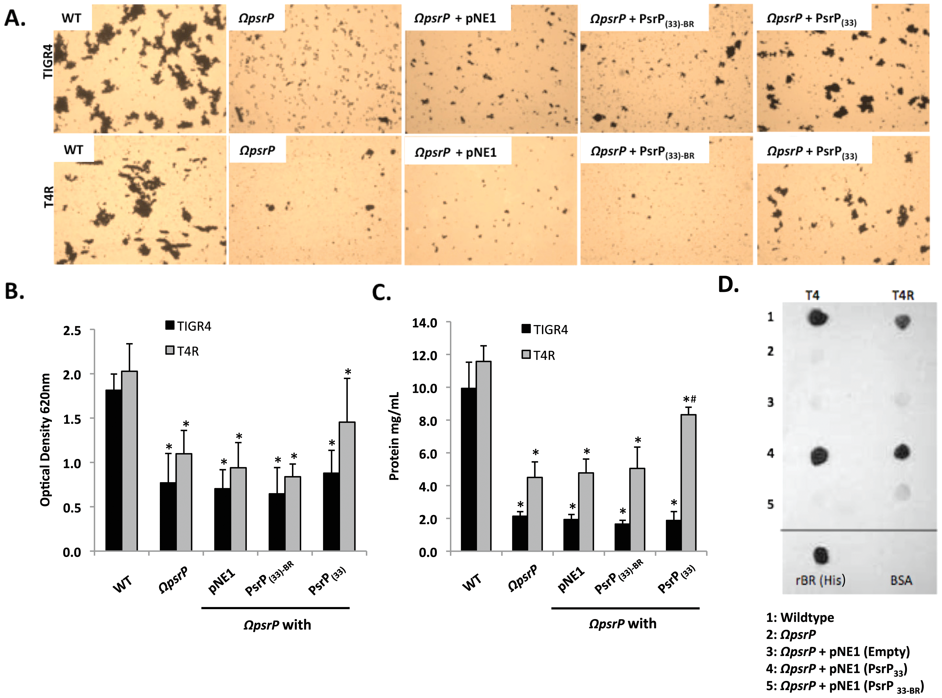 The BR domain of PsrP mediates intra-species bacterial interactions.