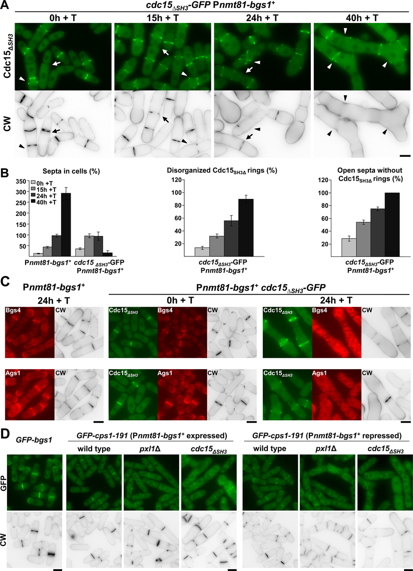 Cooperation between Bgs1 and the SH3 Domain of Cdc15 is essential for CAR maintenance and septum formation.