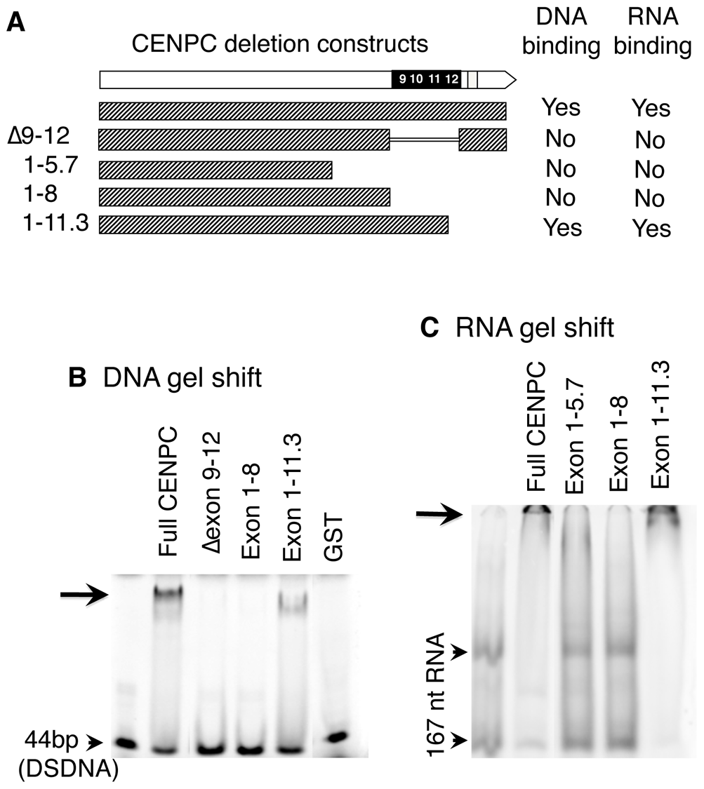 DNA and RNA binding localize to exon 9–12.