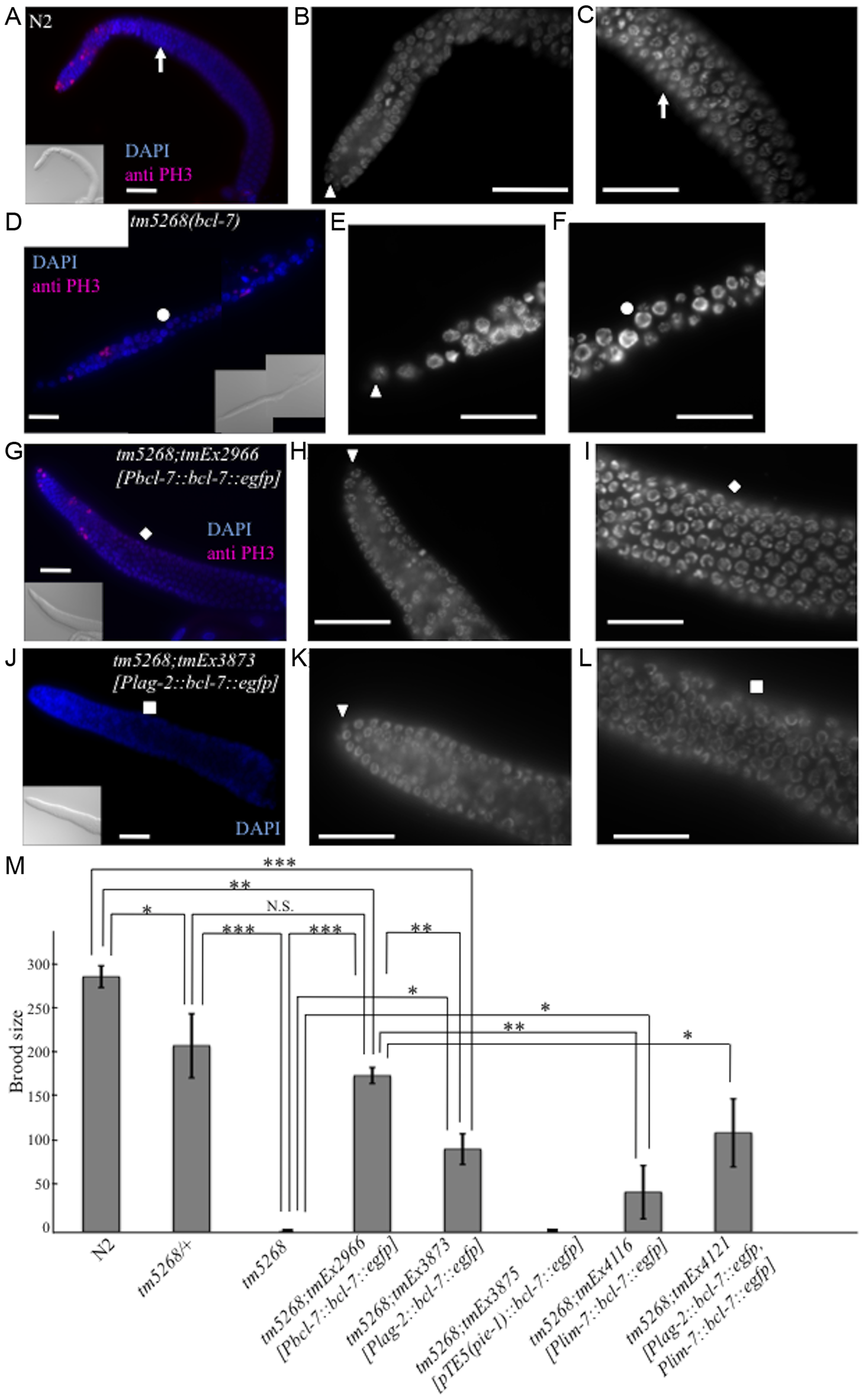 Knockout of <i>bcl-7</i> affects gonadal development and germ cell proliferation in <i>Caenorhabditis elegans</i>.