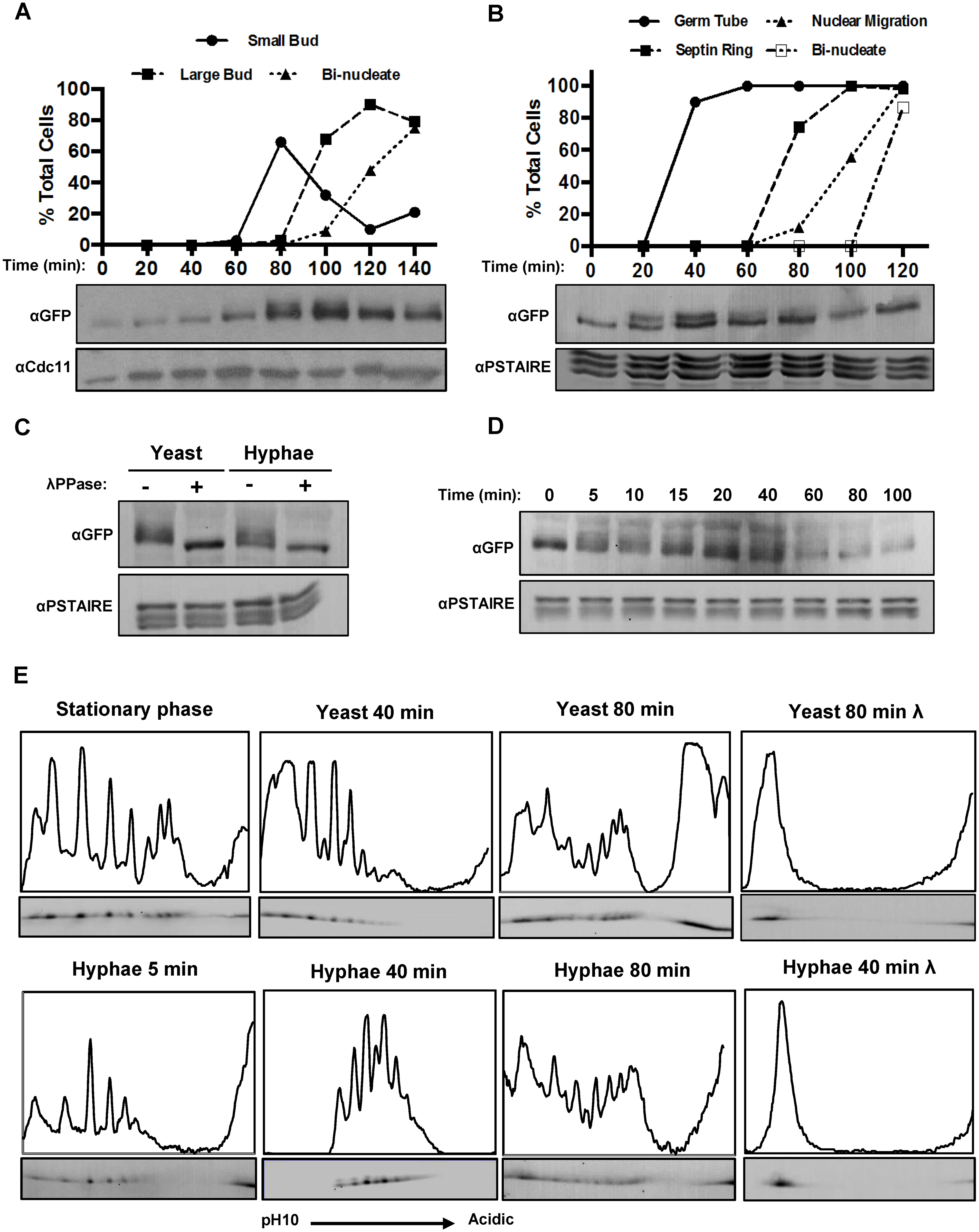Fkh2 is differentially phosphorylated between yeast and hyphal growth.