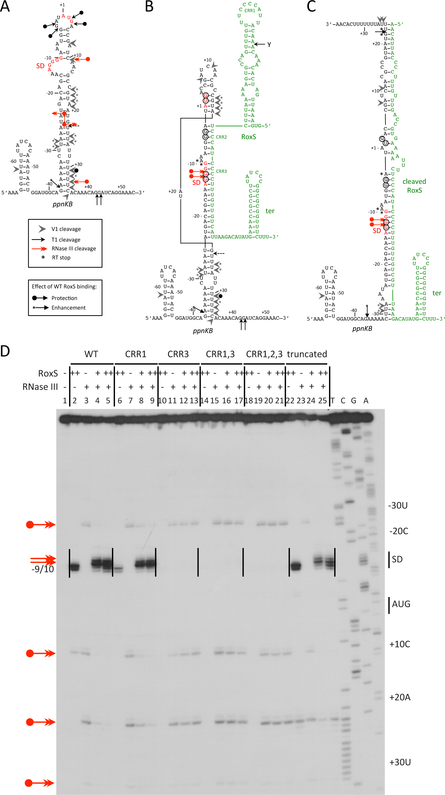 RNase III cleaves the <i>ppnKB</i>/RoxS duplex <i>in vitro</i>.