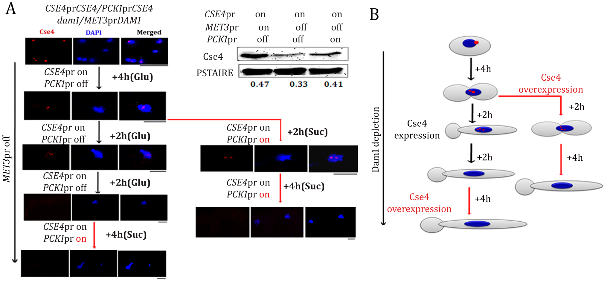 Kinetochore localization of newly synthesized CENP-A/Cse4 is compromised in absence of wild-type levels of Dam1.