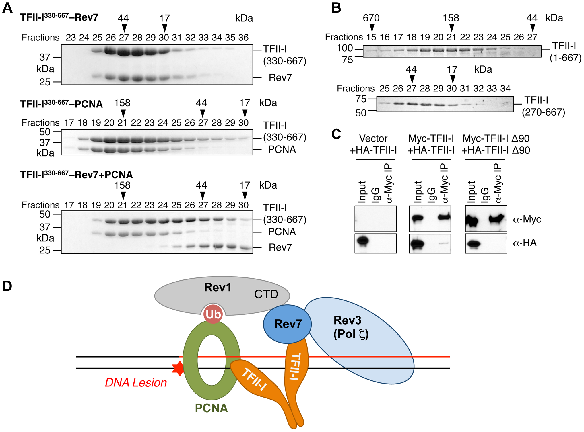 The TFII-I dimer bridges PCNA and Rev7.
