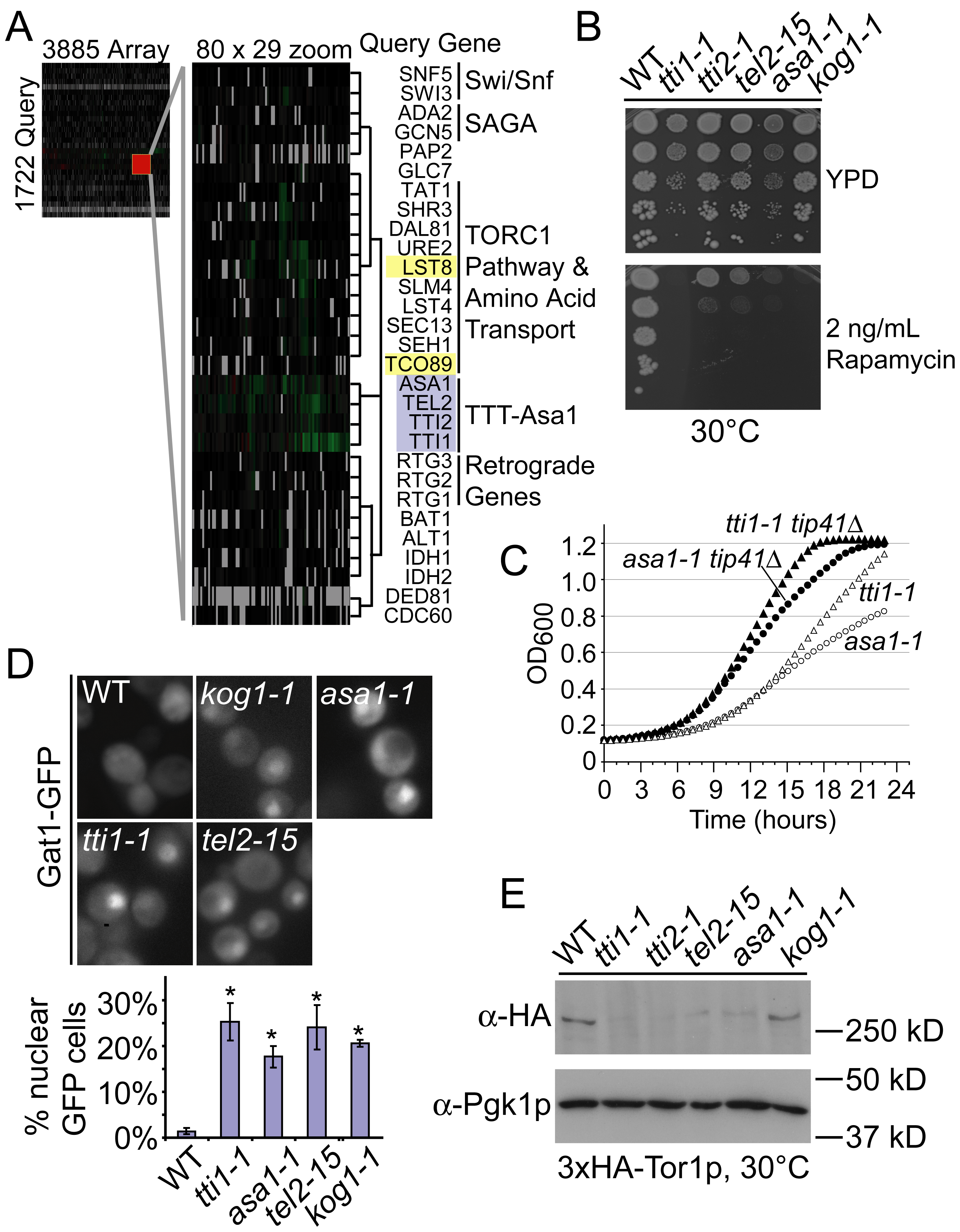 High-resolution phenotypic profiles link TTT and ASA1 to TORC1 function.