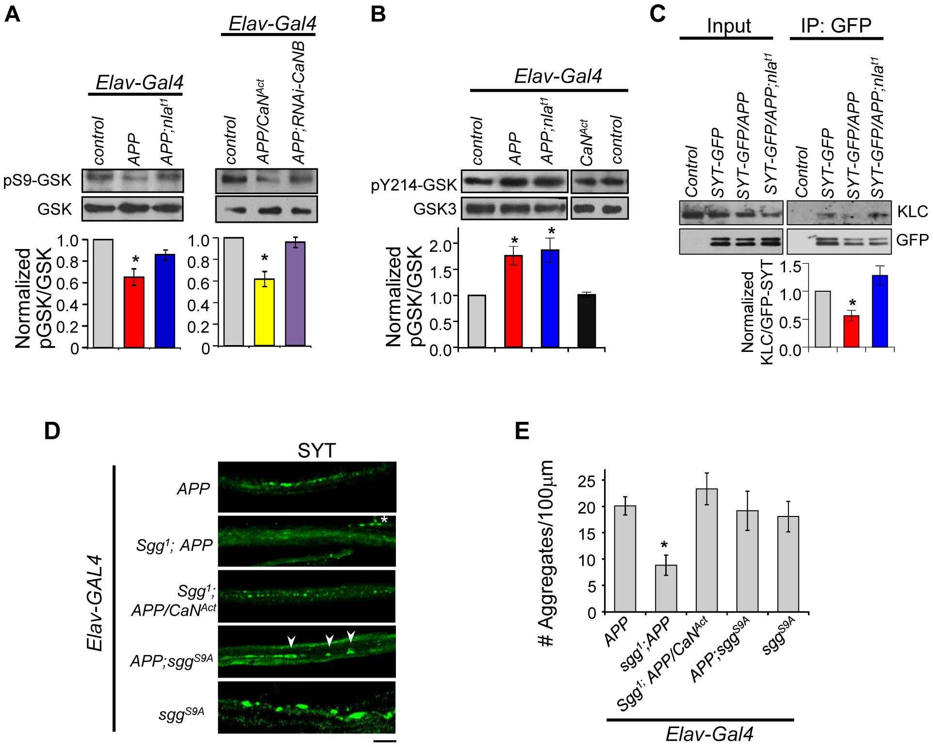 APP upregulation triggers changes in GSK-3β signaling downstream of calcineurin and affects synaptotagmin-kinesin interaction.
