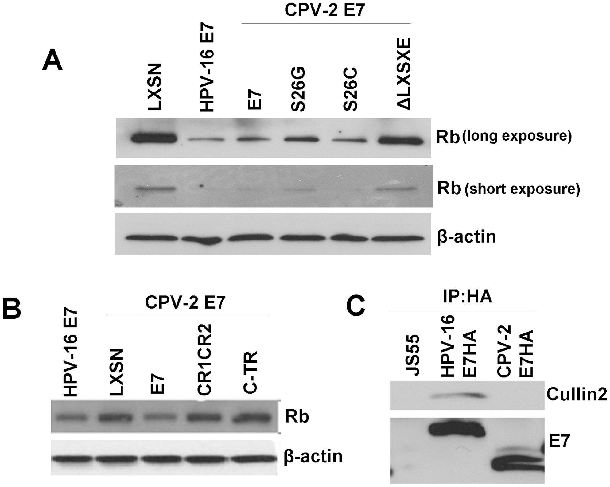 Although not the primary binding site, the canine E7 amino-terminal domain of CPV-2 E7 is important for destabilization of pRb.