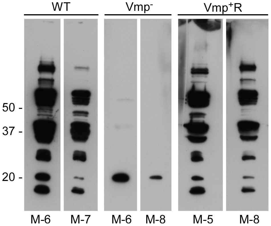Mice inoculated with the Vmp<sup>−</sup> mutant <i>B. hermsii</i> have a reduced serological response to infection.