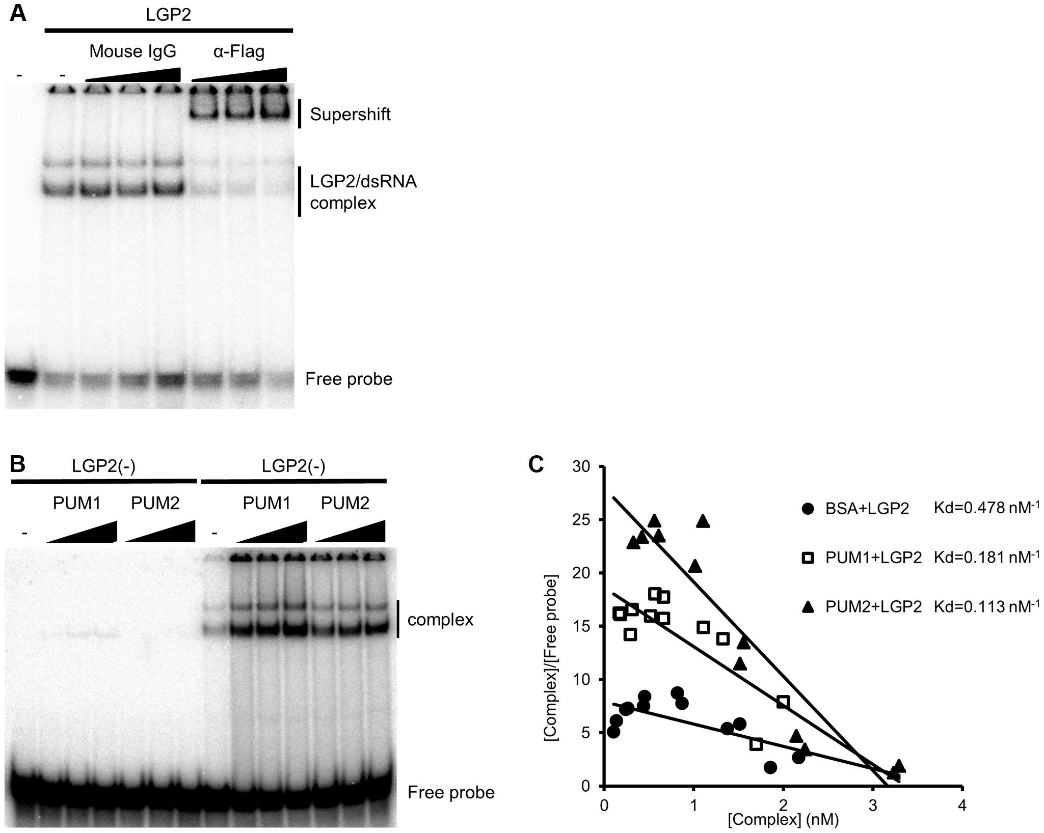 <i>In vitro</i> binding assay of dsRNA and LGP2.