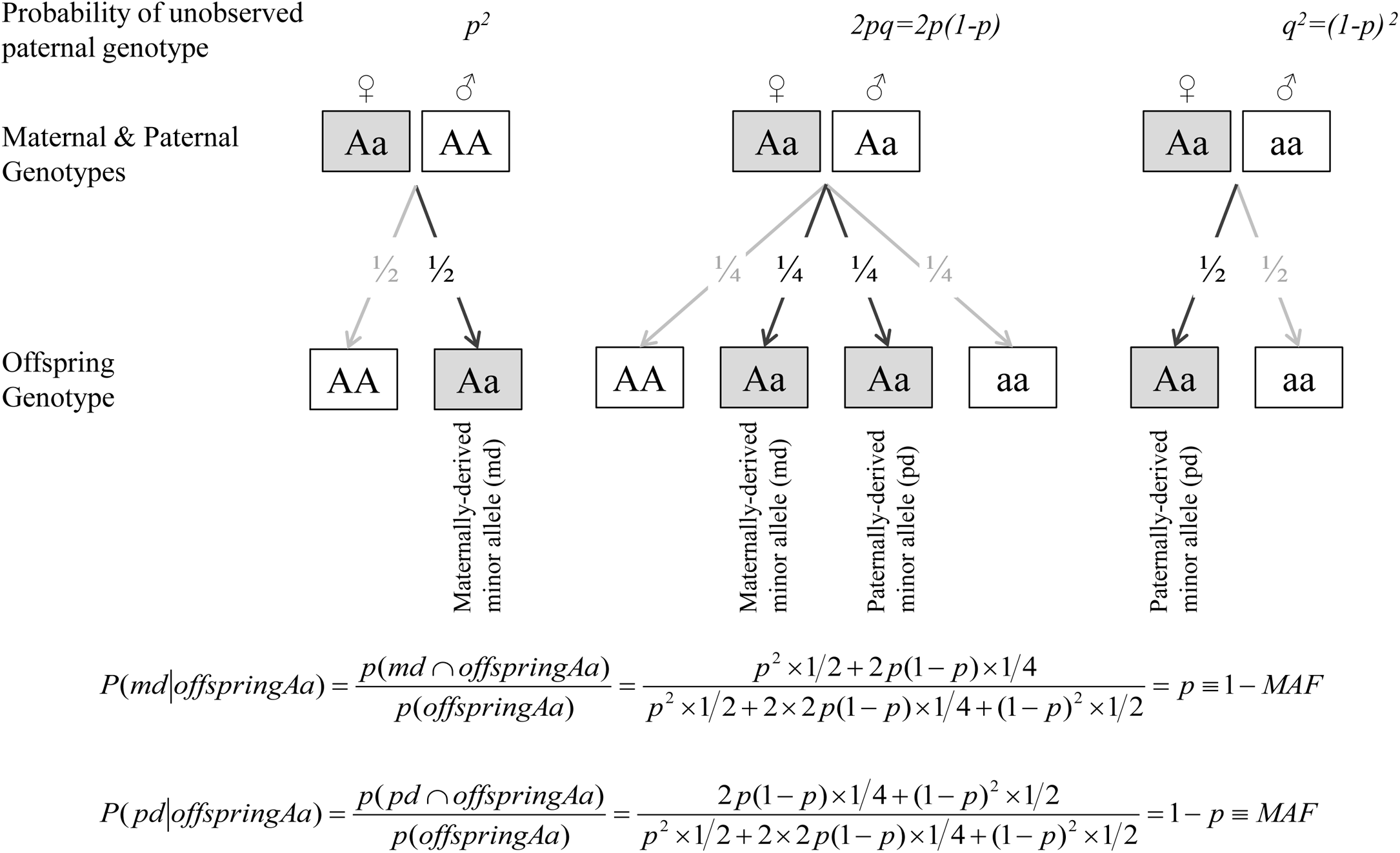 Estimated dosage of maternally- and paternally-derived minor allele indicators for heterozygous (Aa) mothers-offspring pairs.