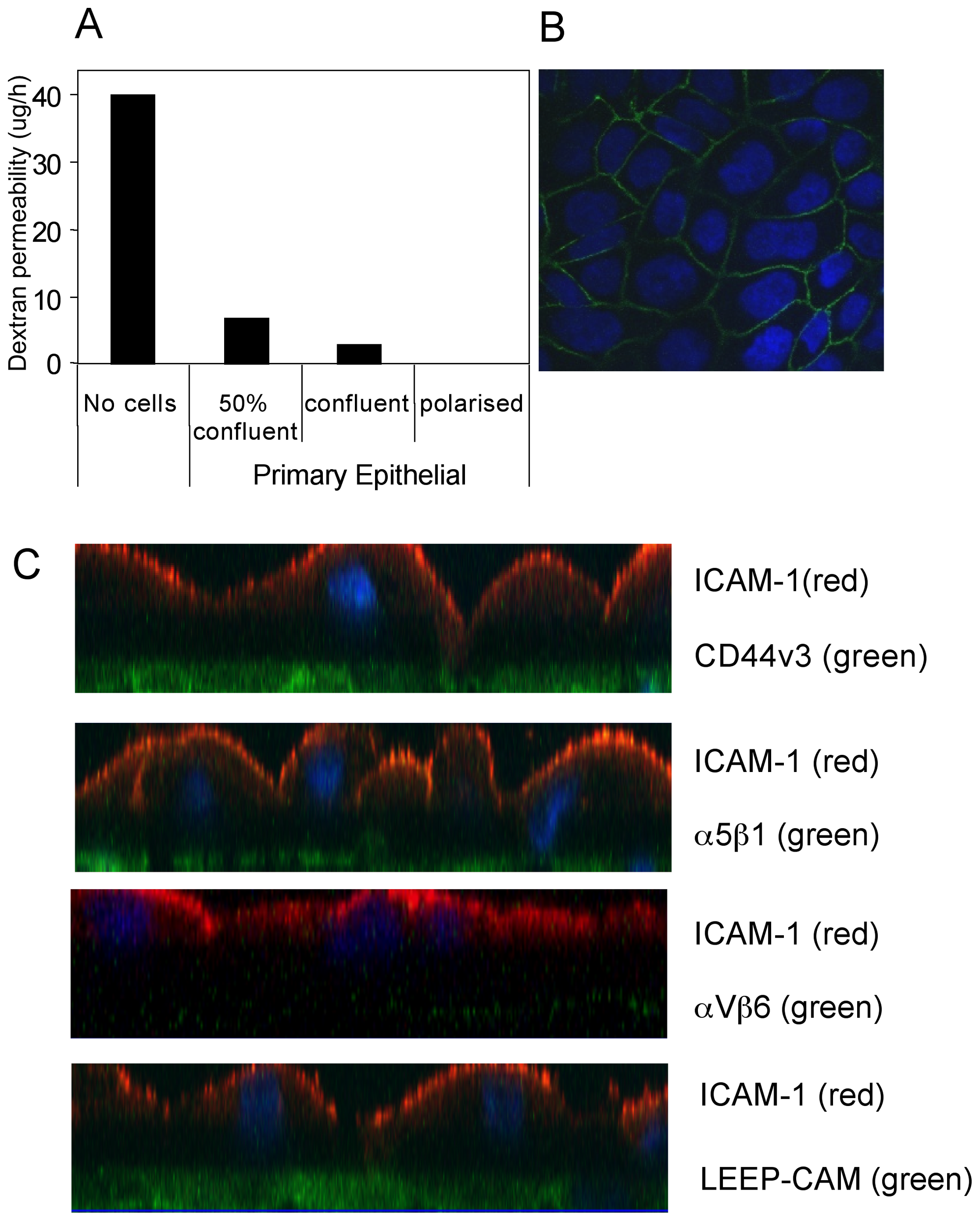 Polarization of primary tonsillar epithelial cells.