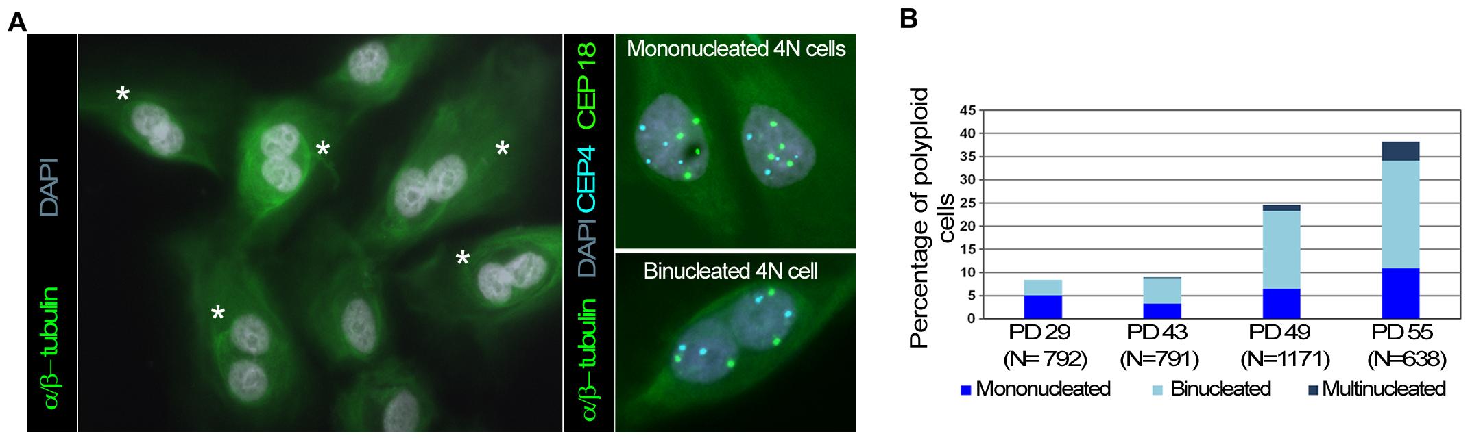 Polyploid HMECs arise through incomplete cytokinesis.
