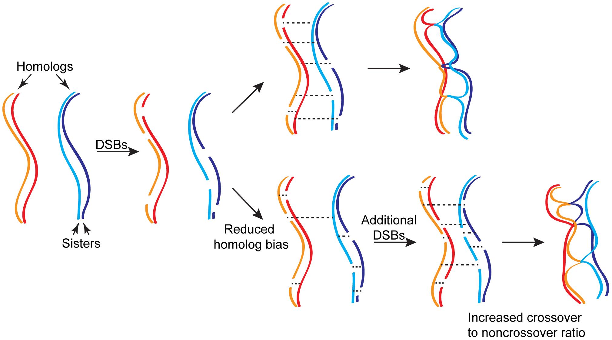 Homeostatic regulation of meiotic recombination.