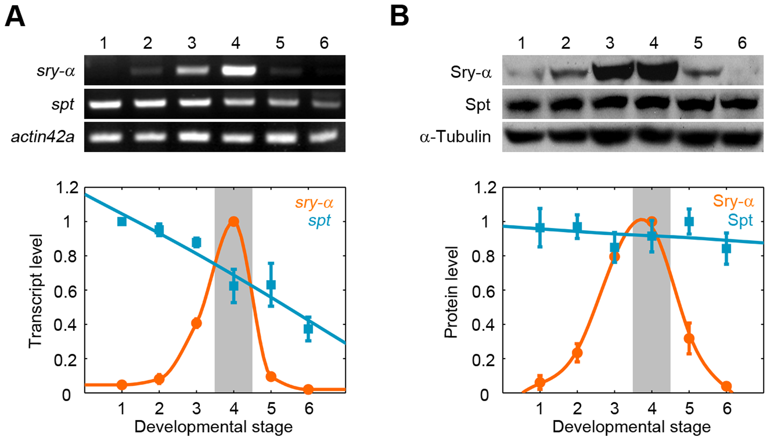 Spt is maternally provided, while Sry-α is zygotically expressed in a pulse for cellularization.