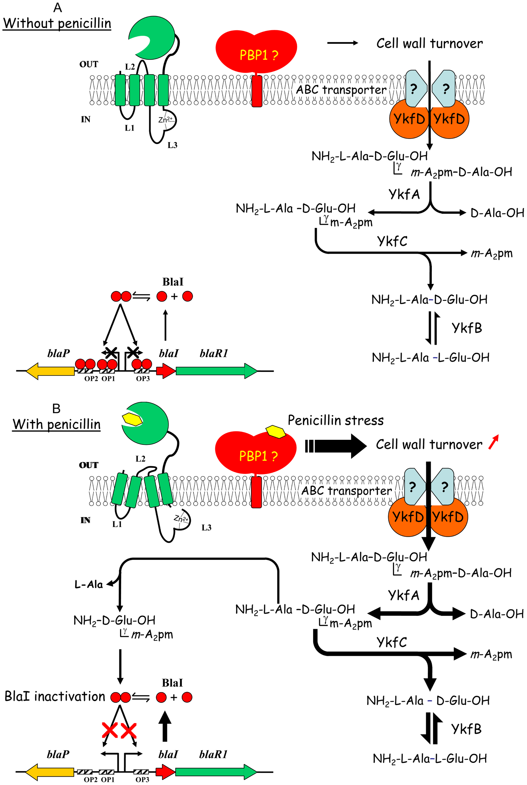 New model proposed for β-lactamase induction in <i>B. licheniformis</i> 749/I.