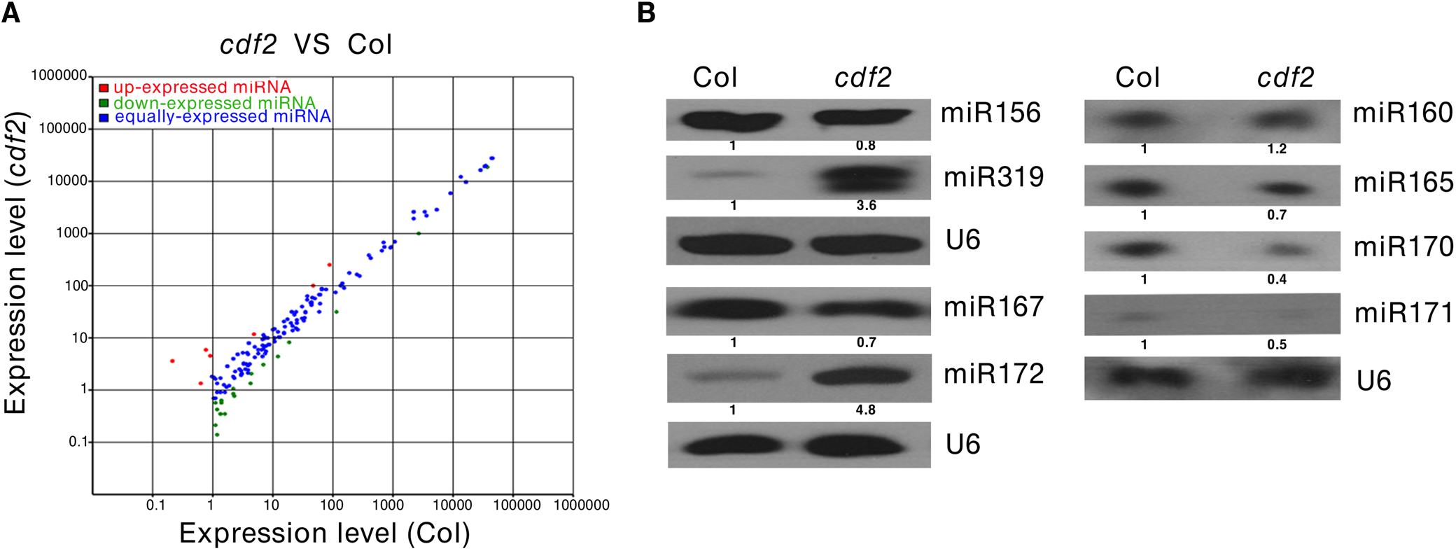 CDF2 is required for the accumulation of a group of miRNAs.