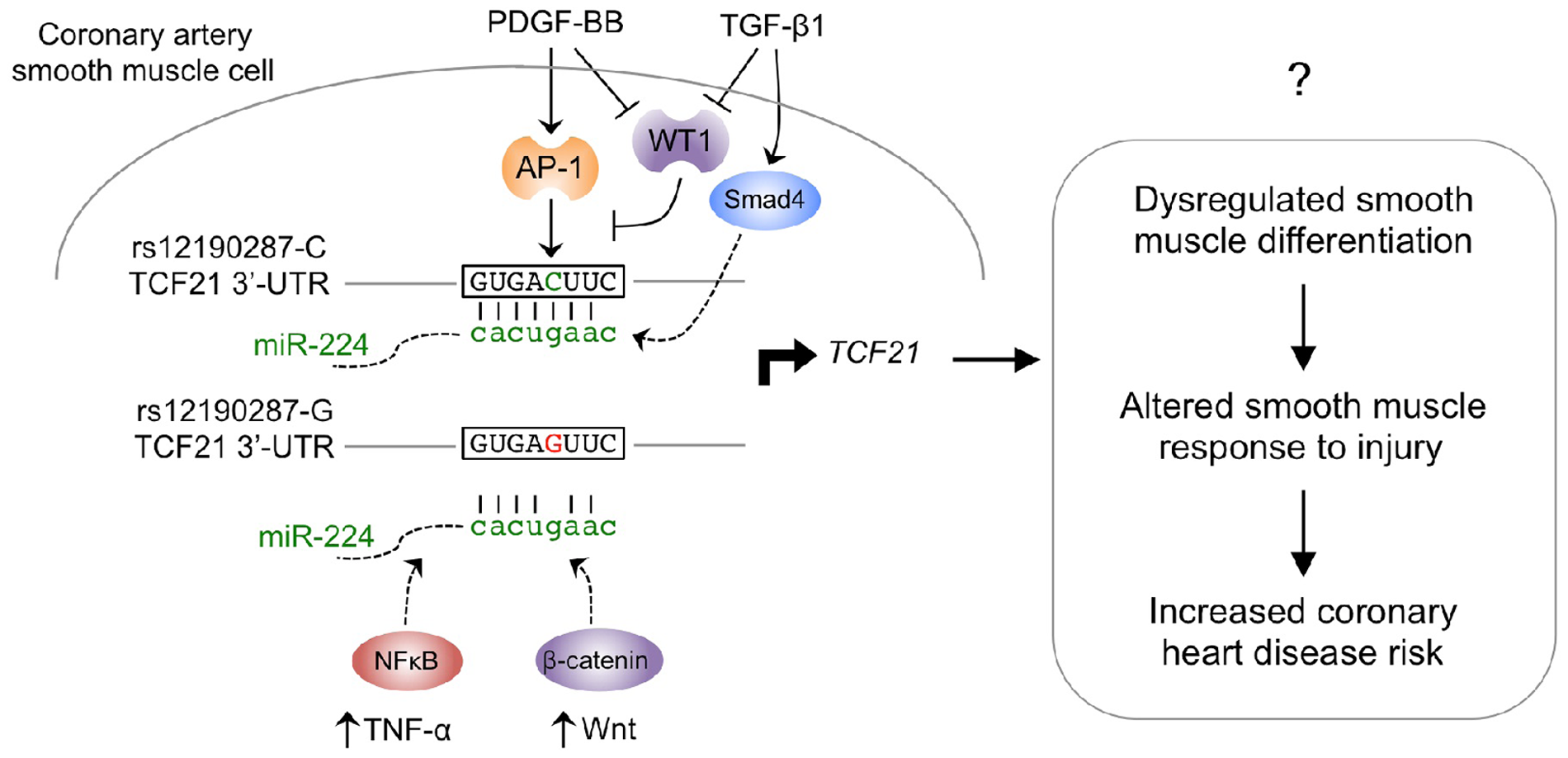 Proposed model of signaling pathways converging on miR-224-<i>TCF21</i> interaction at rs12190287.