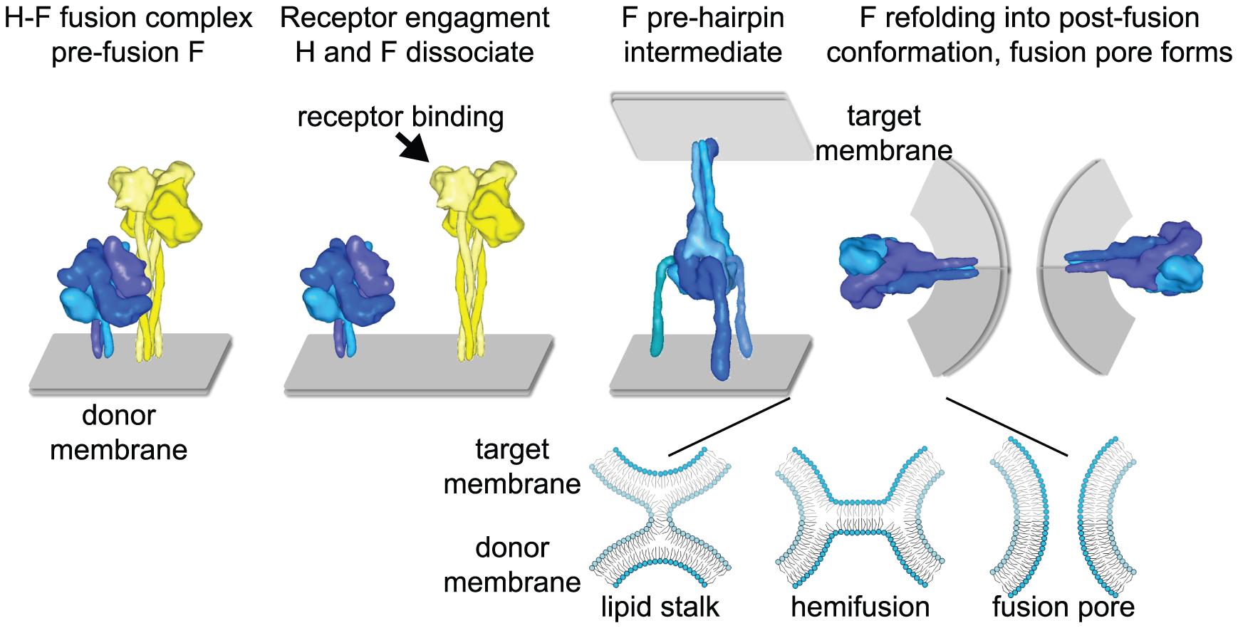 Measles virus fusion model.