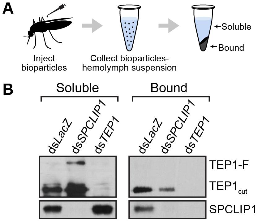 SPCLIP1 and TEP1<sub>cut</sub> are localized on the surface of <i>E.</i> <i>coli</i> bioparticles.