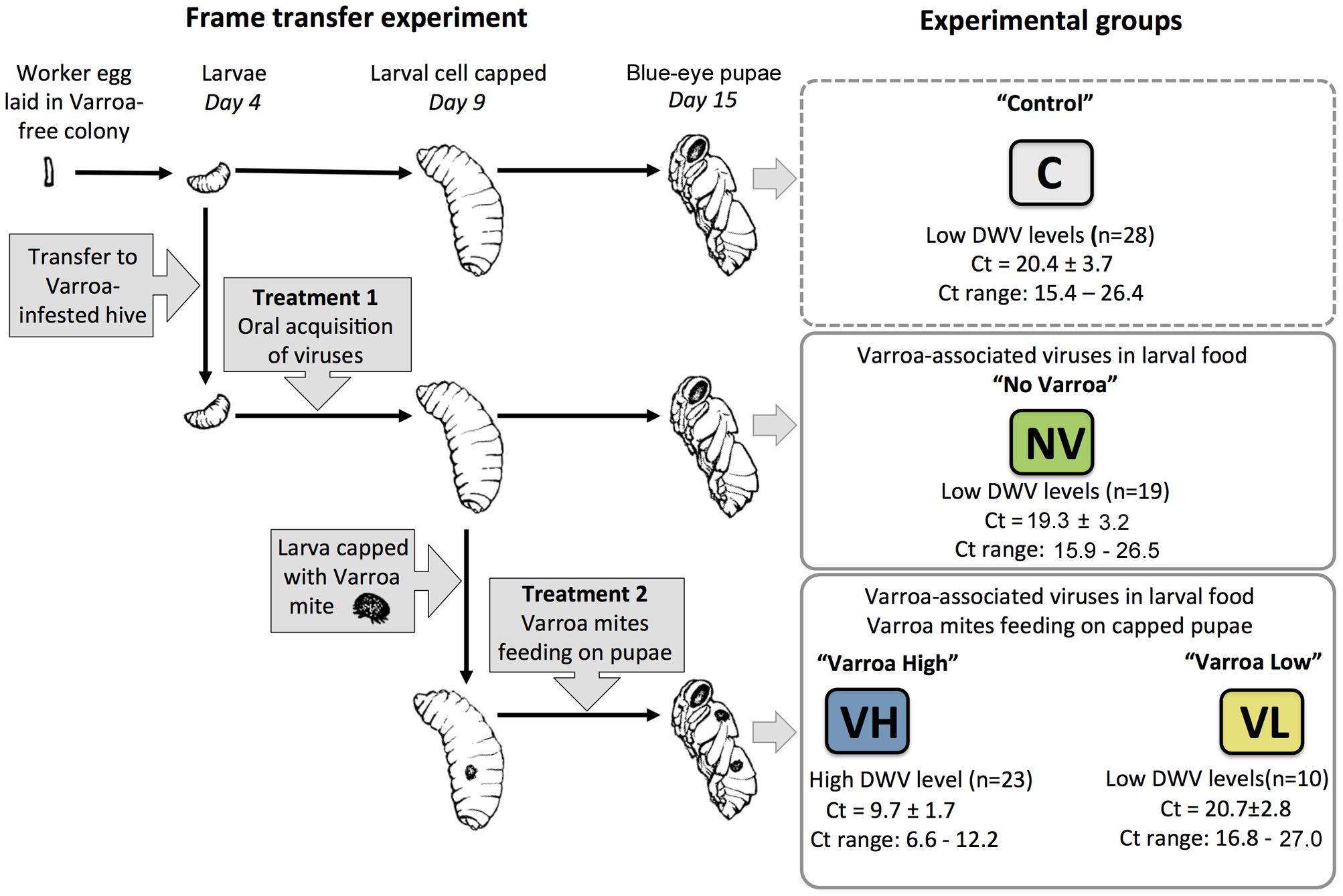 Design of the frame transfer experiment, summary of treatments, and experimental honeybee groups.
