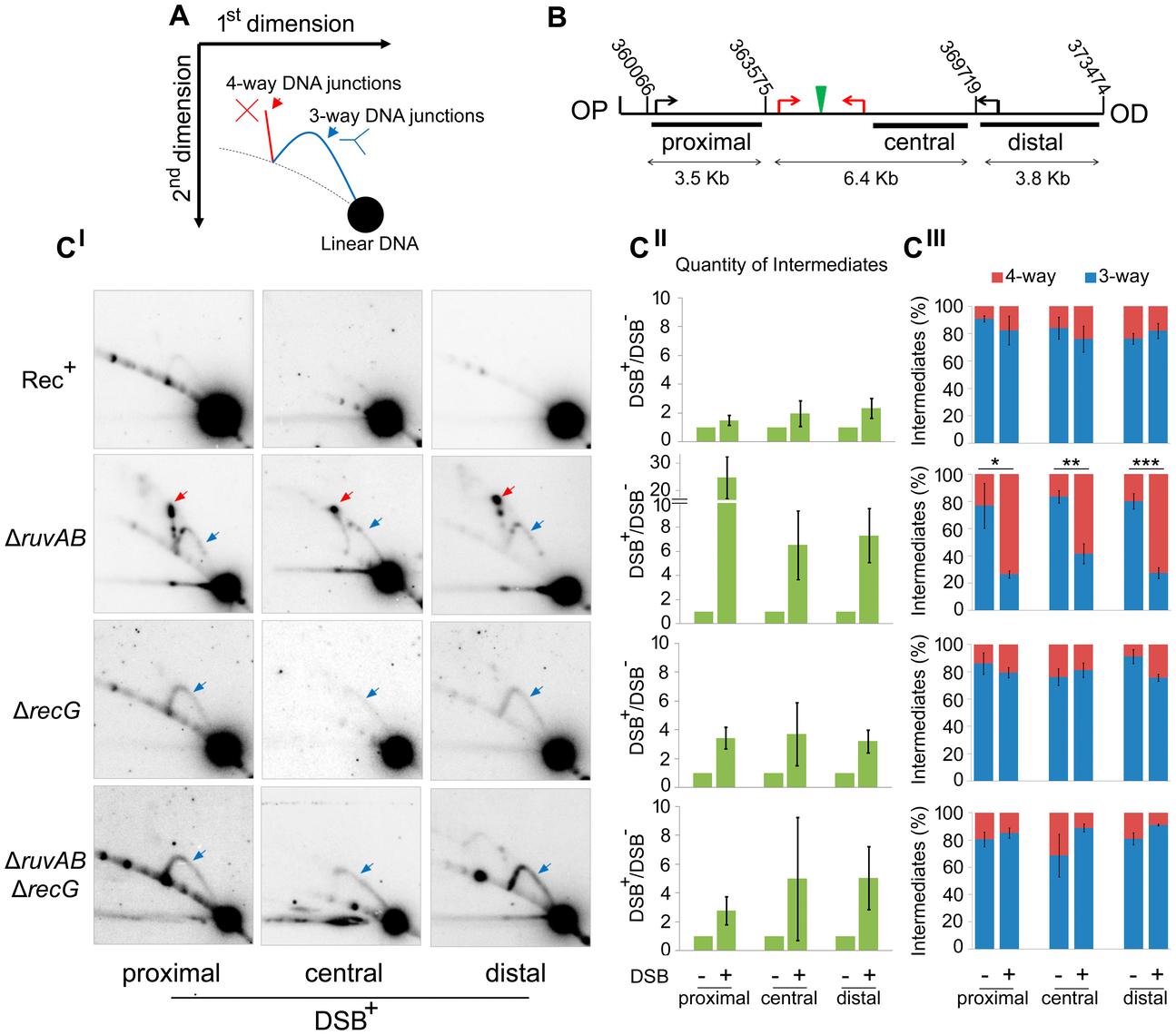 Intermediates of DSBR by 2D agarose gel electrophoresis.