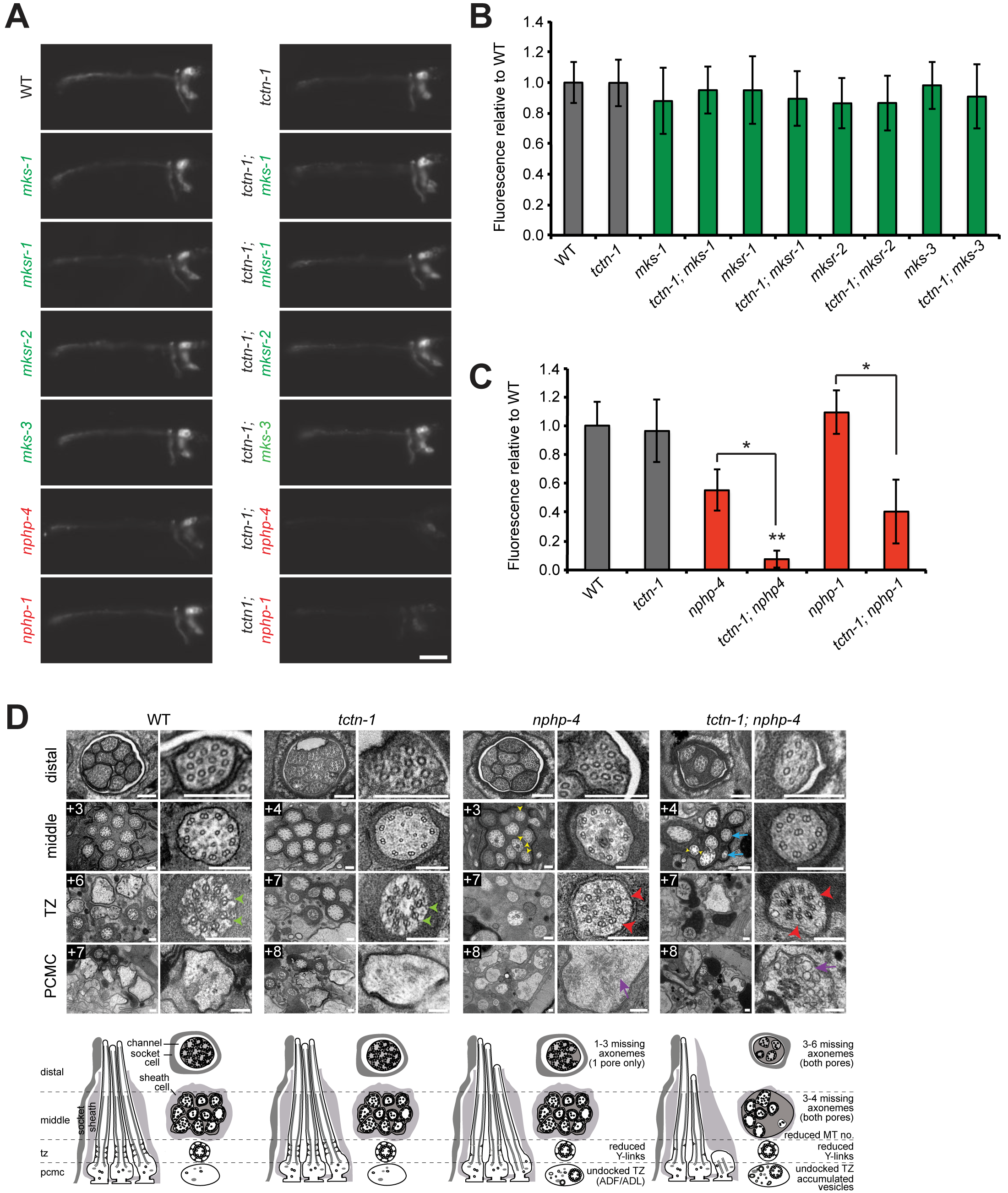 <i>C</i>. <i>elegans tctn-1</i> interacts with NPHP genes, but not MKS genes to affect ciliary structure.