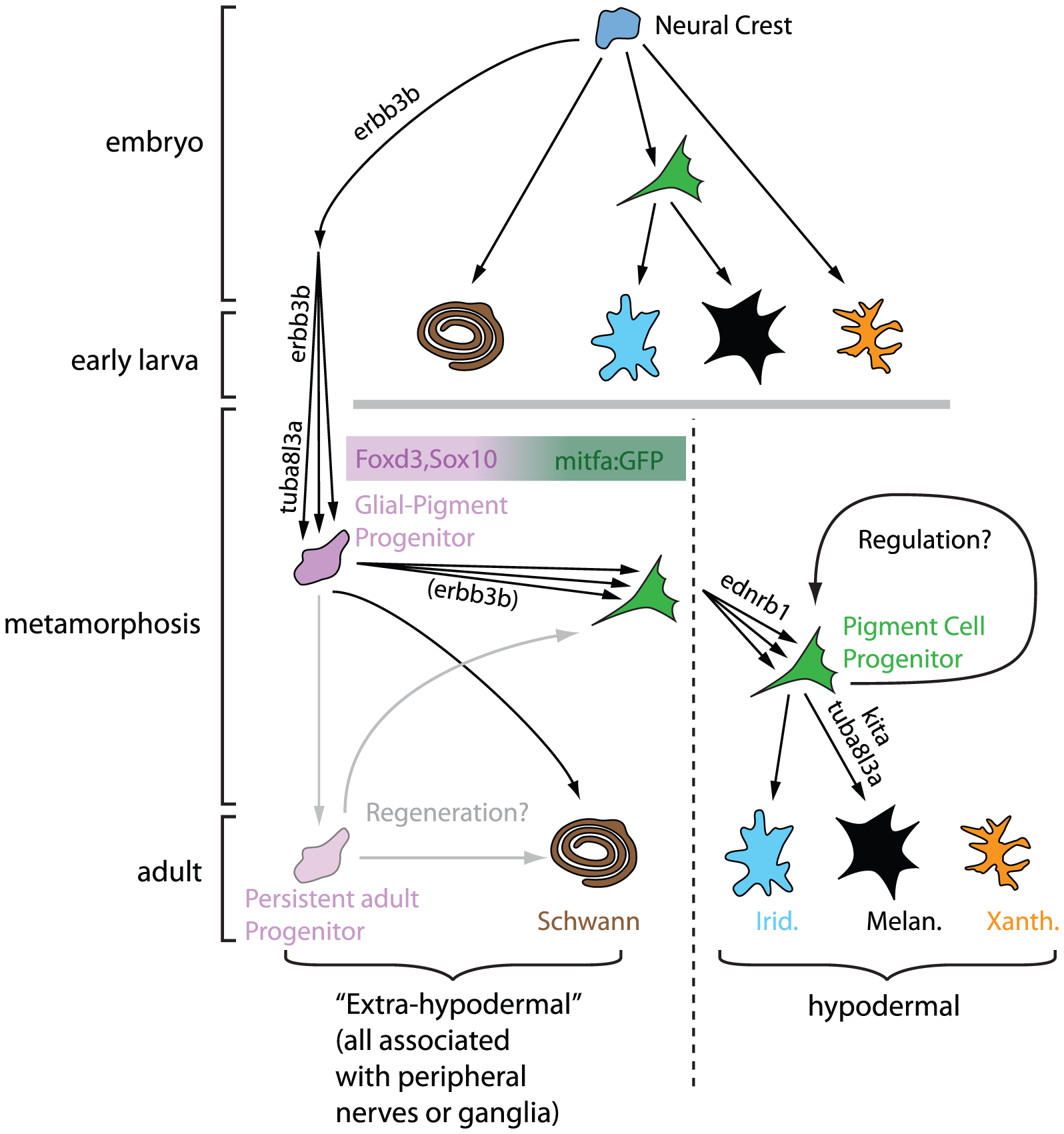Model for neural origins of metamorphic melanocytes and iridophores.