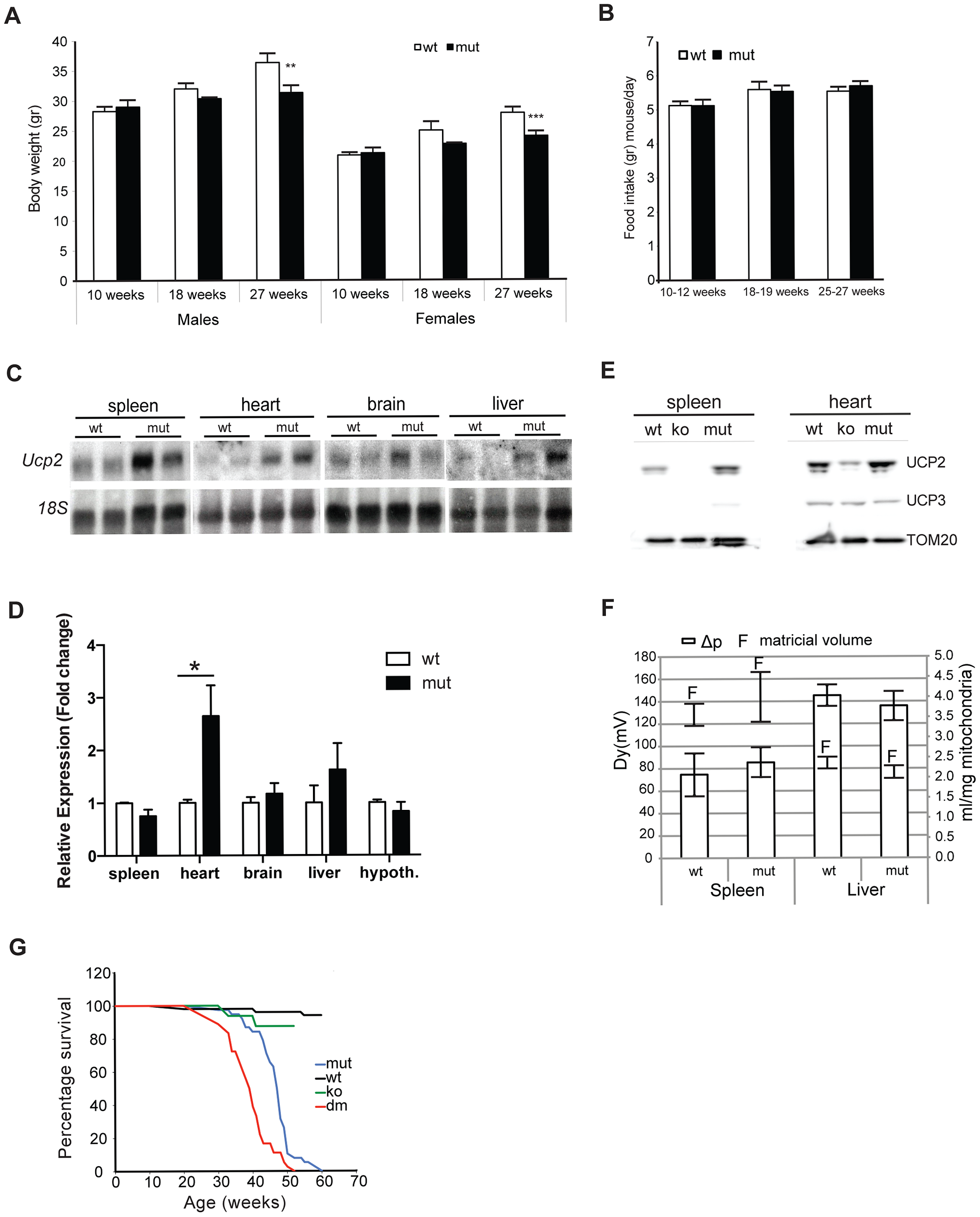 MtDNA mutator mice have lower body mass and upregulated UCP2 levels.