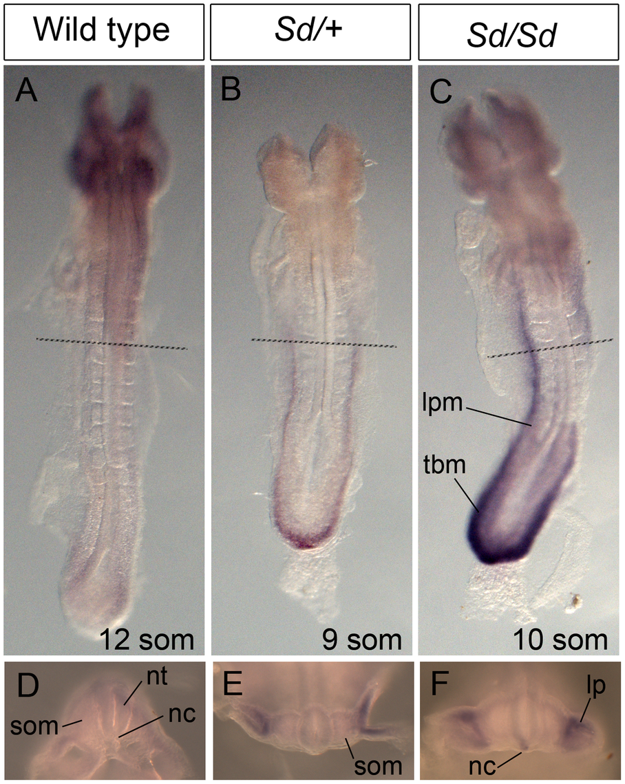 Ectopic expression of <i>Ptf1a</i> in <i>Sd/+</i> and <i>Sd/Sd</i> embryos at E8.5.