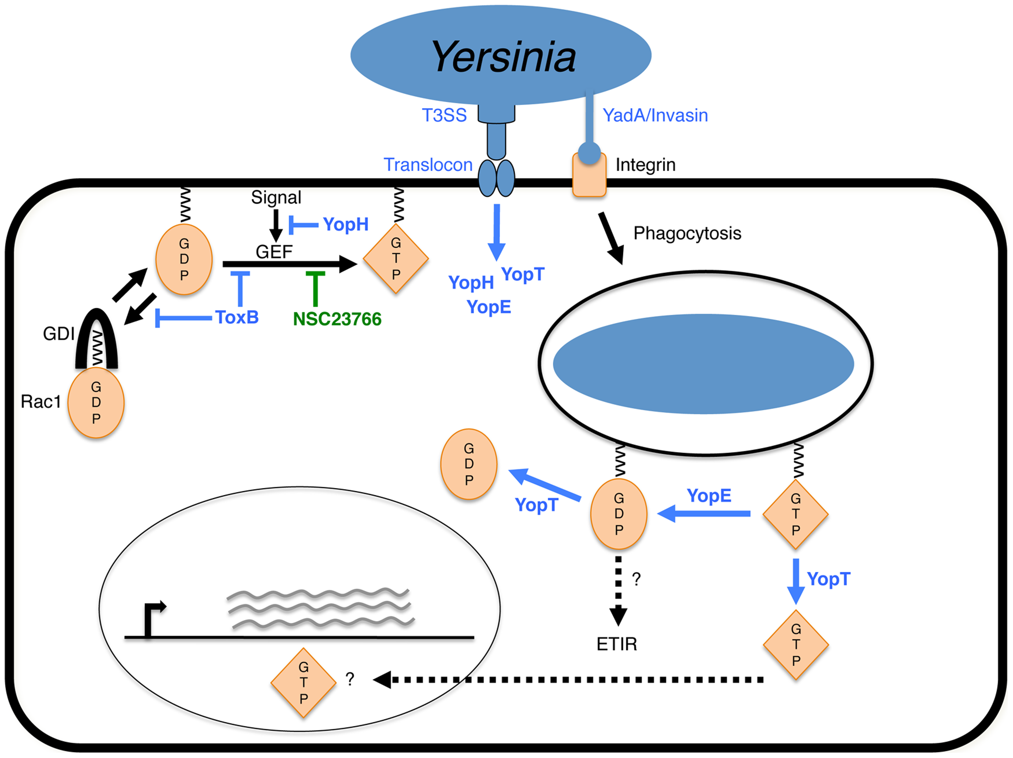 Model of YopE-triggered killing of <i>Yersinia</i> in macrophages.